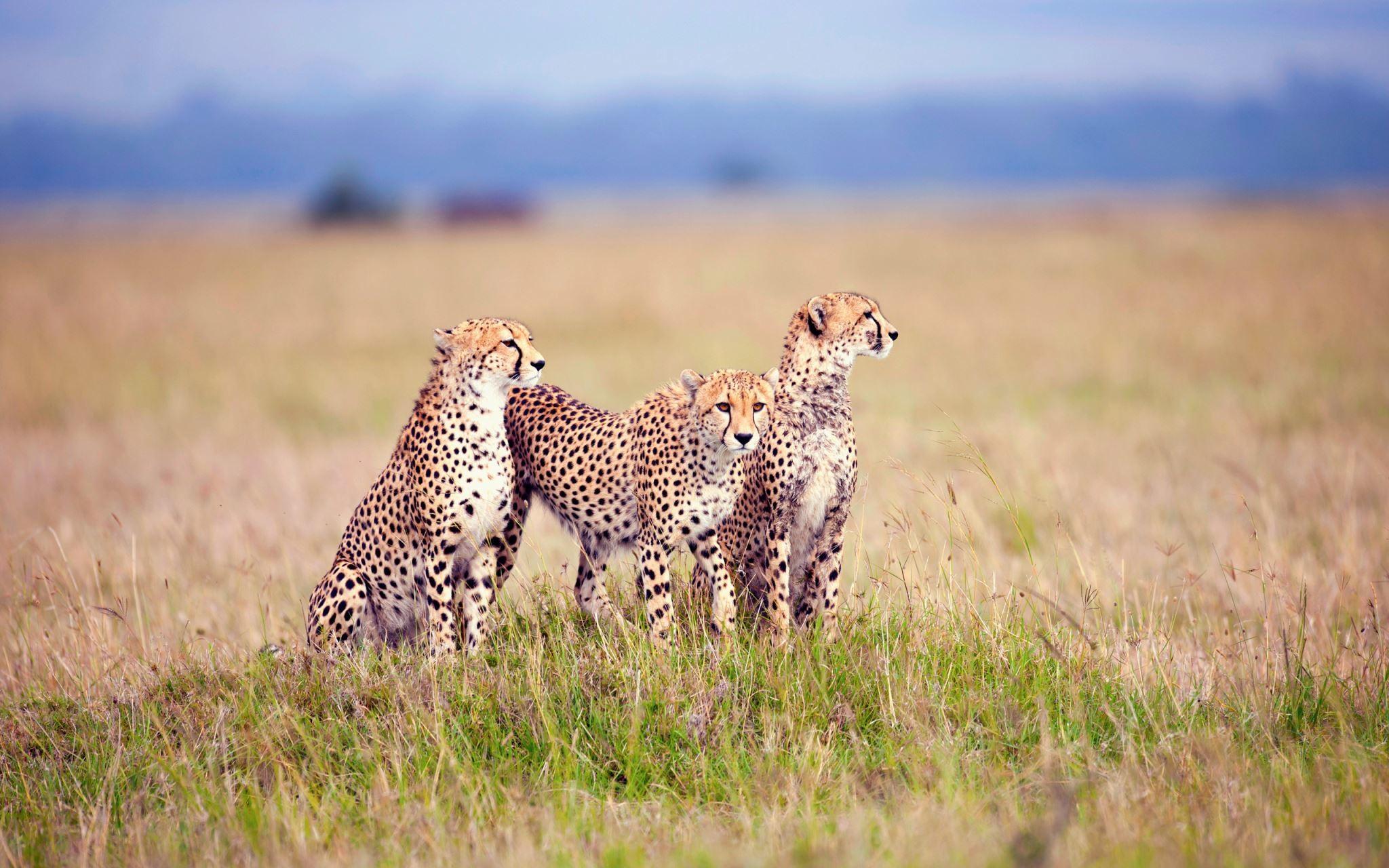 Res: 2048x1280, Cheetah animals Photos Gallery