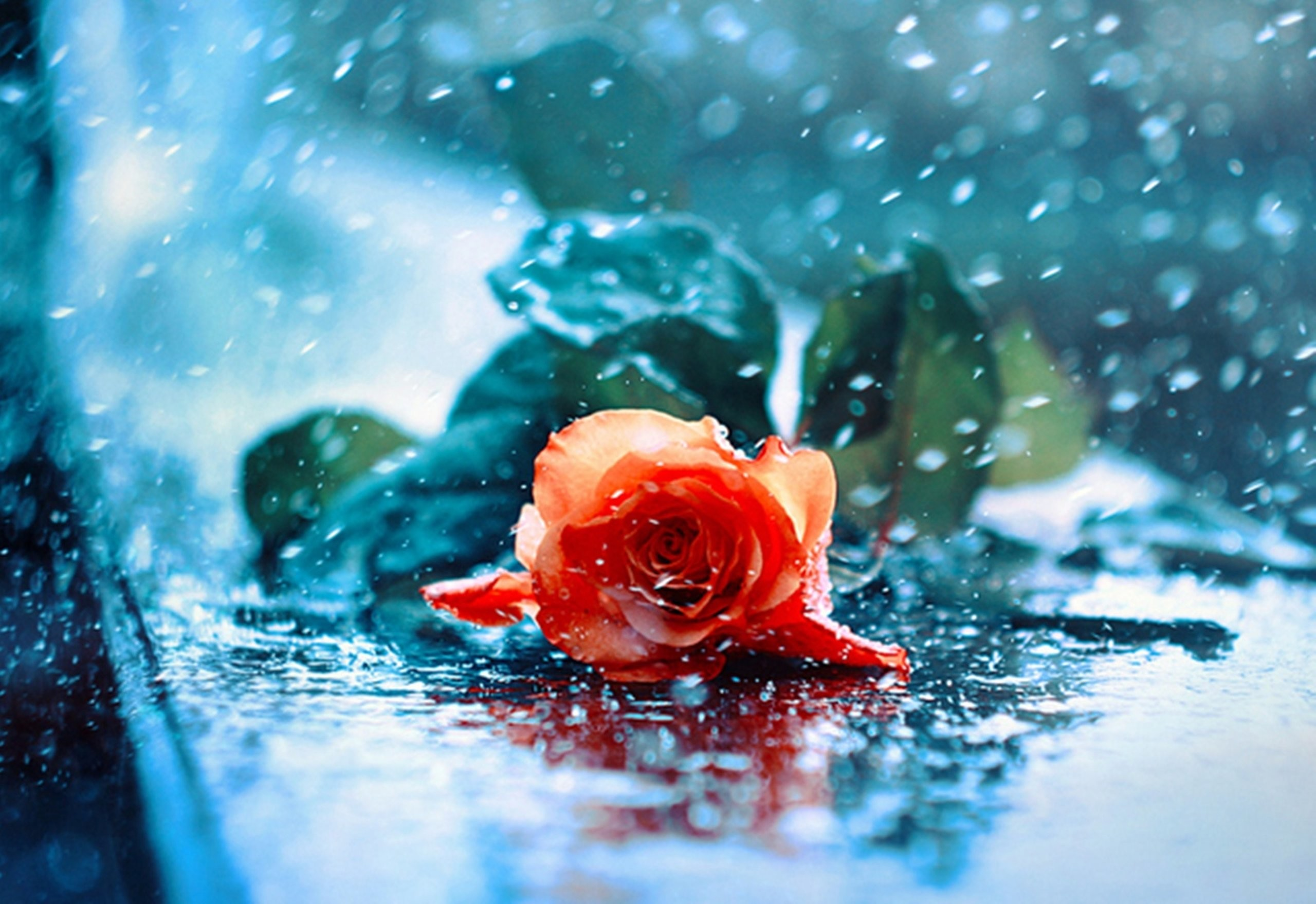 Res: 2560x1760, Rose With Water Drops Wallpapers Group (78+)