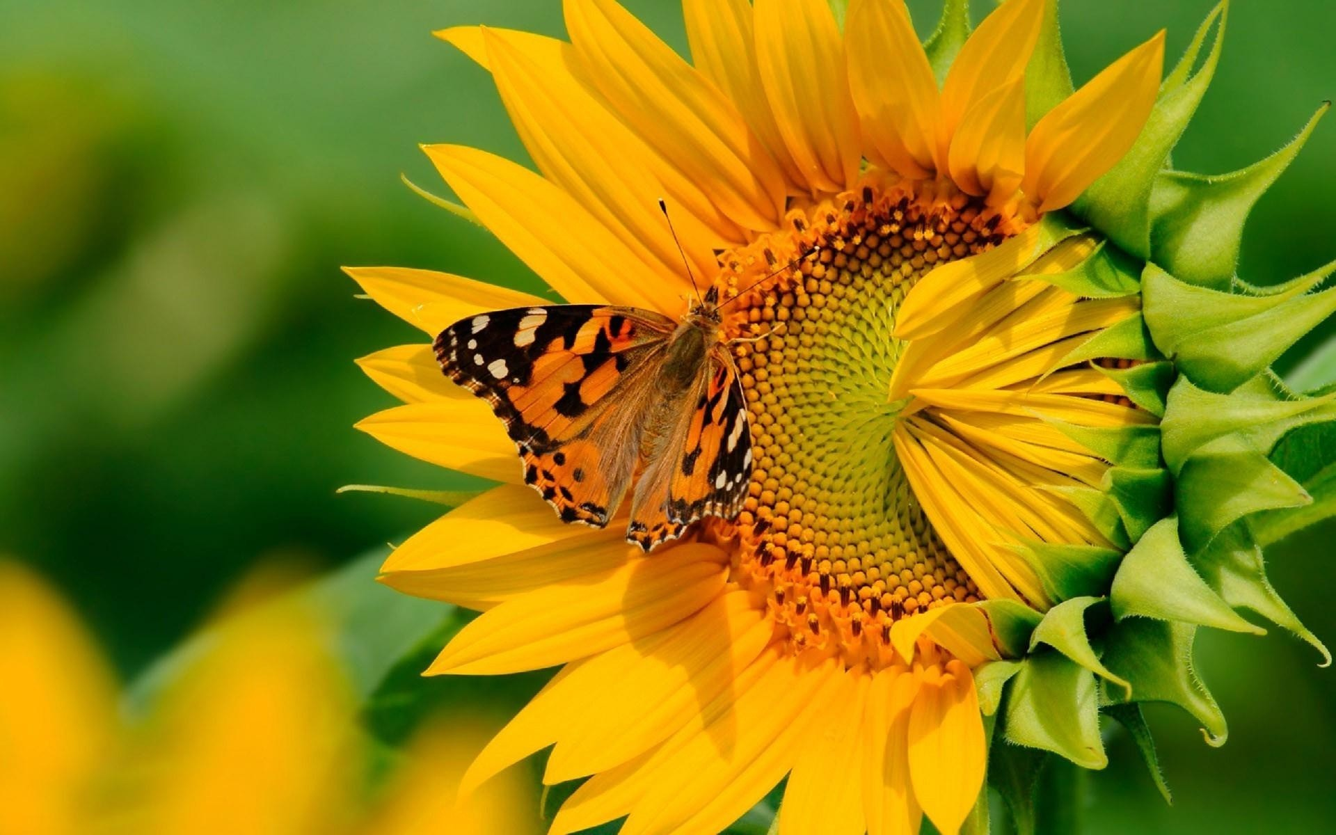 Res: 1920x1200, butterfly-on-the-sunflower-awesome-hd-wallpapers