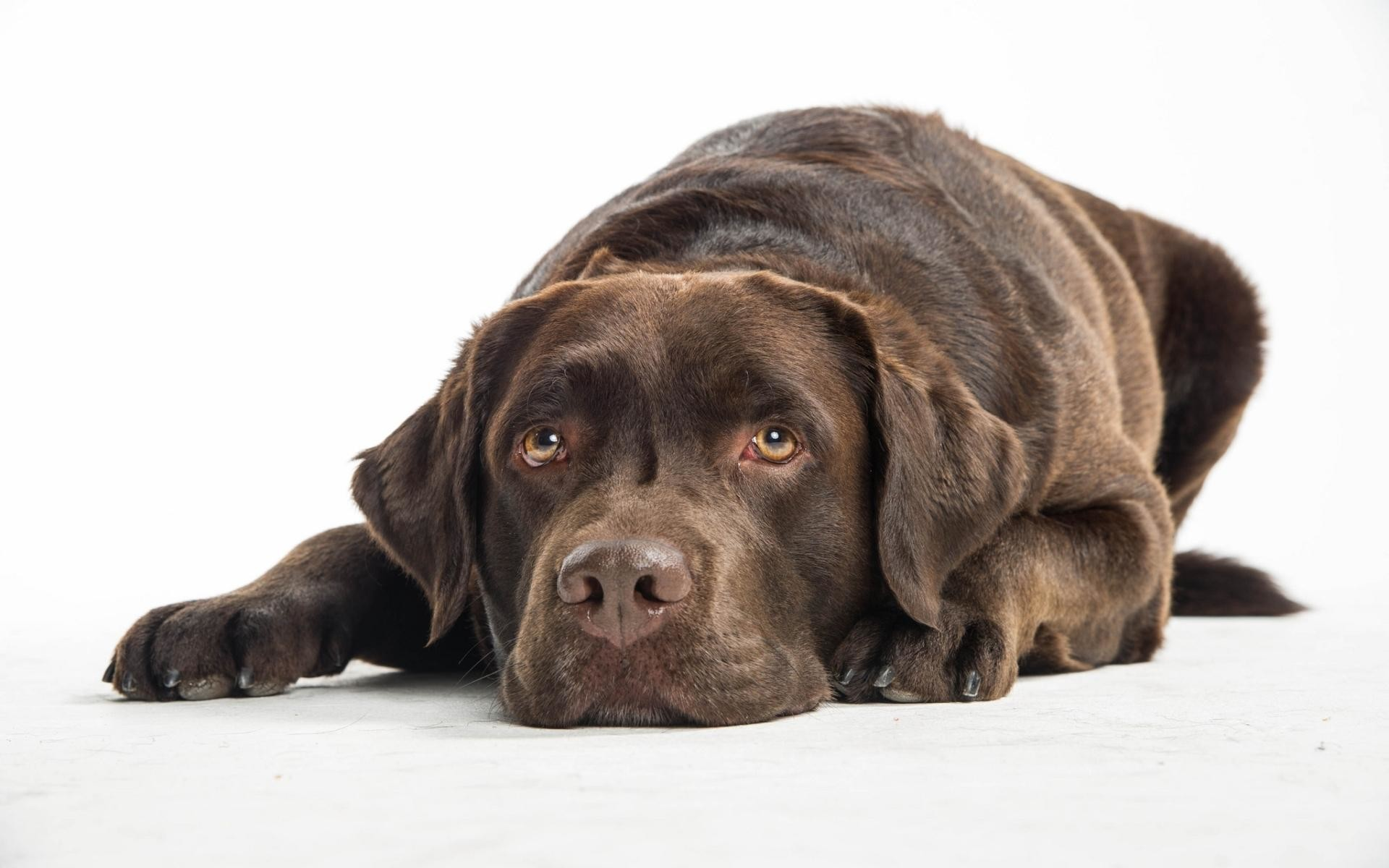 Res: 1920x1200, Quiet chocolate Lab