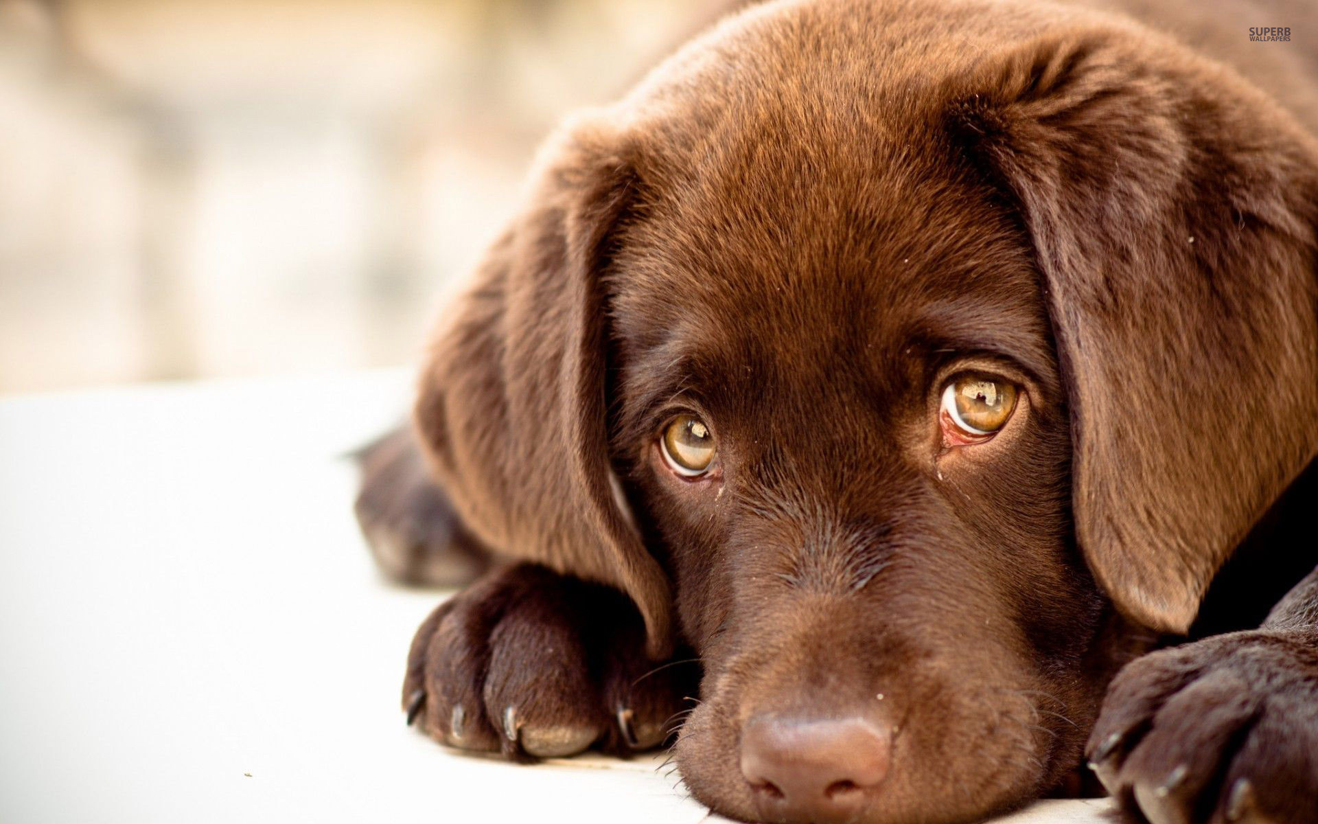 Res: 1920x1200, Chocolate Lab Wallpaper