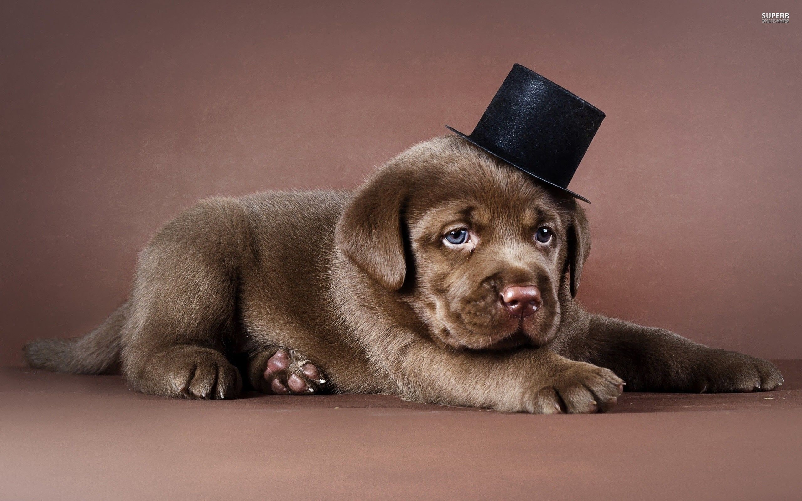 Res: 2560x1600, Chocolate Lab Wallpapers - Wallpaper Cave
