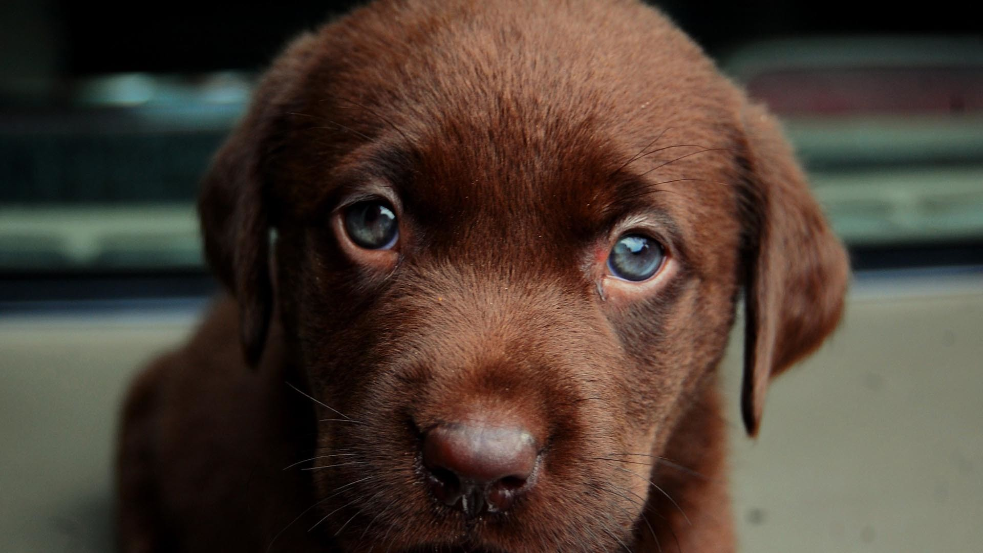 Res: 1920x1080, Chocolate Labrador With Blue Eyes Wallpaper