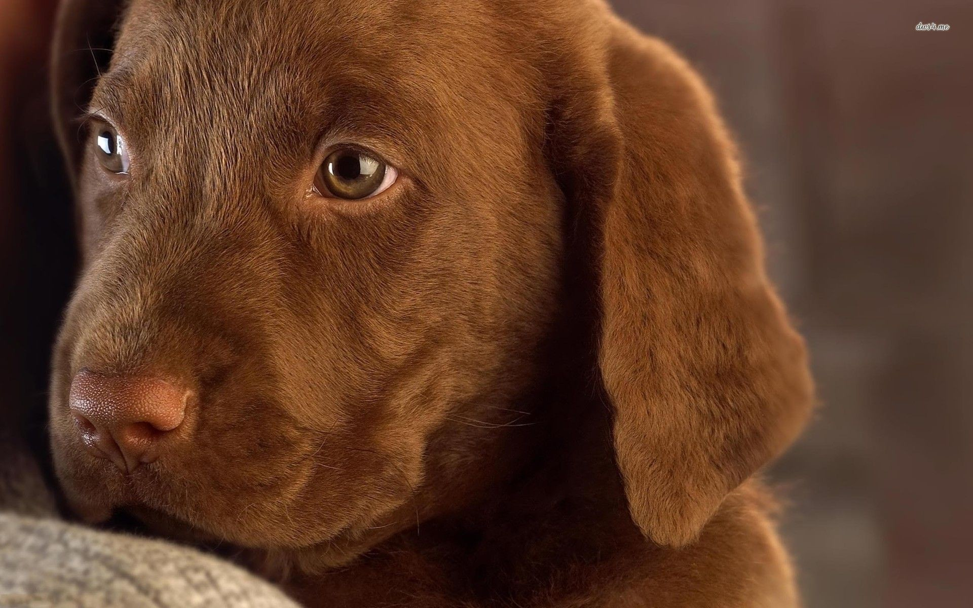 Res: 1920x1200, Chocolate Lab Puppies Wallpaper Chocolate Labrador Puppy .