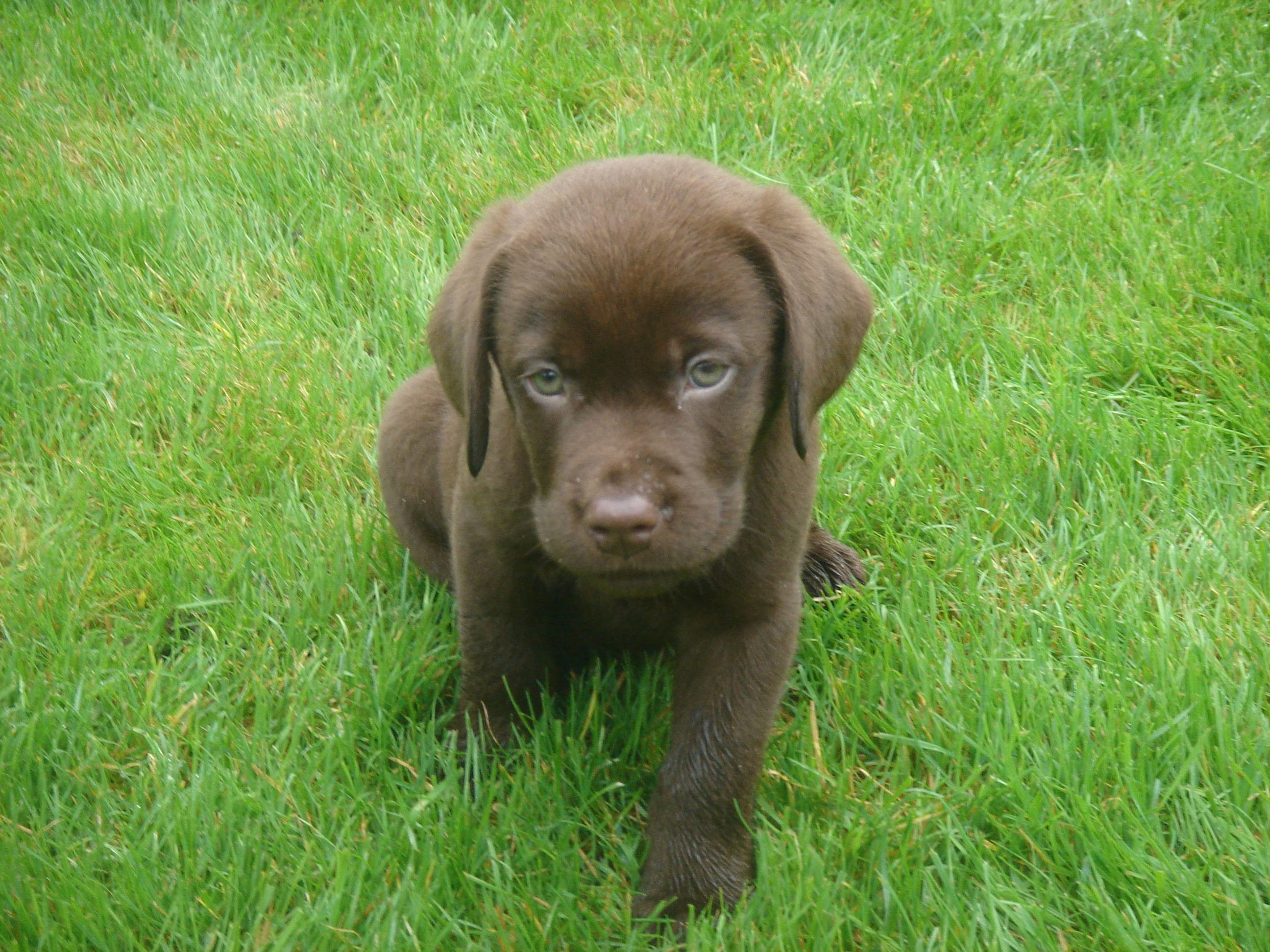 Res: 2592x1944, Images For > Chocolate Lab Hunting Wallpaper