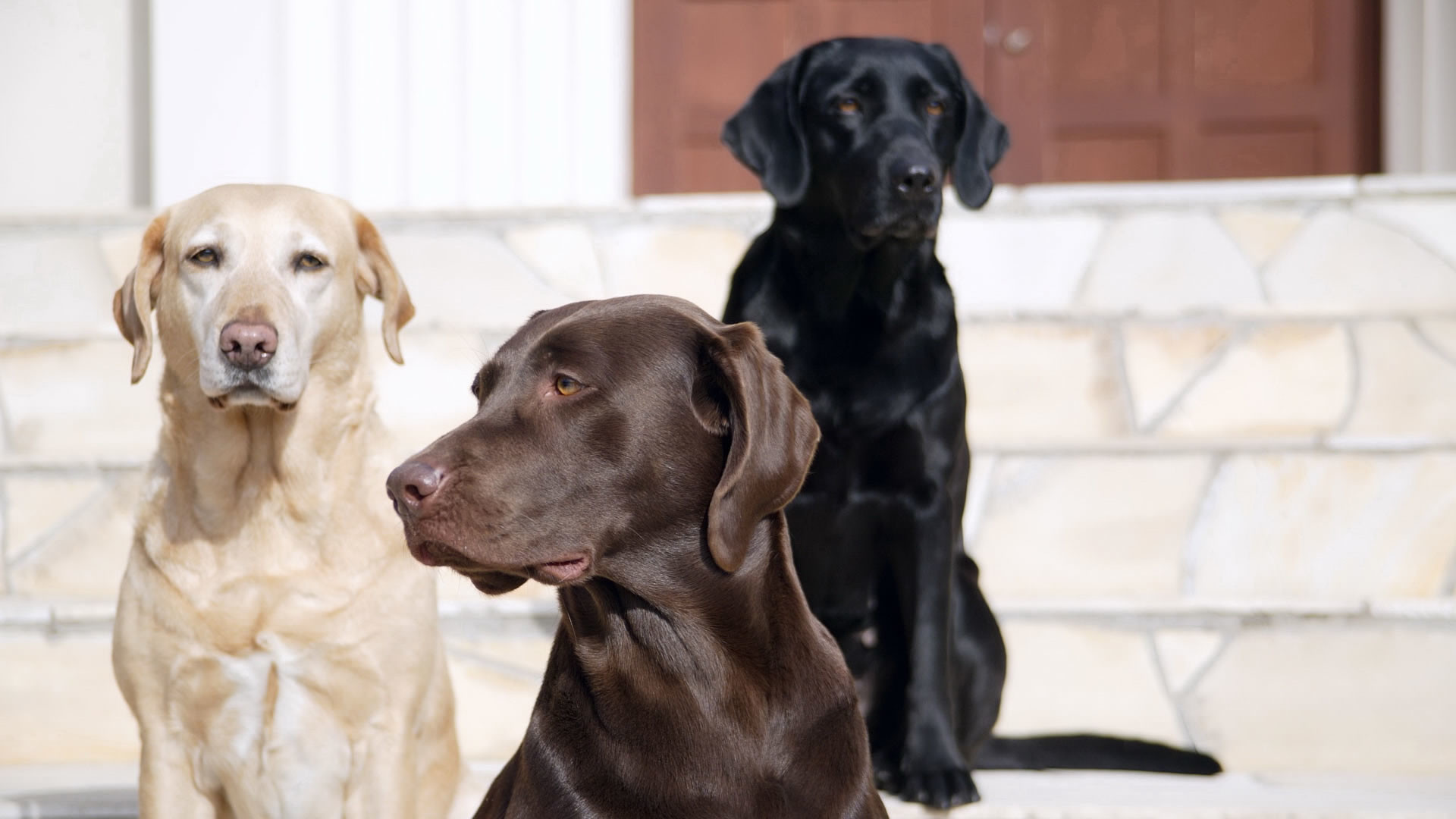 Res: 1920x1080, Yellow, black, and chocolate Labrador Retrievers