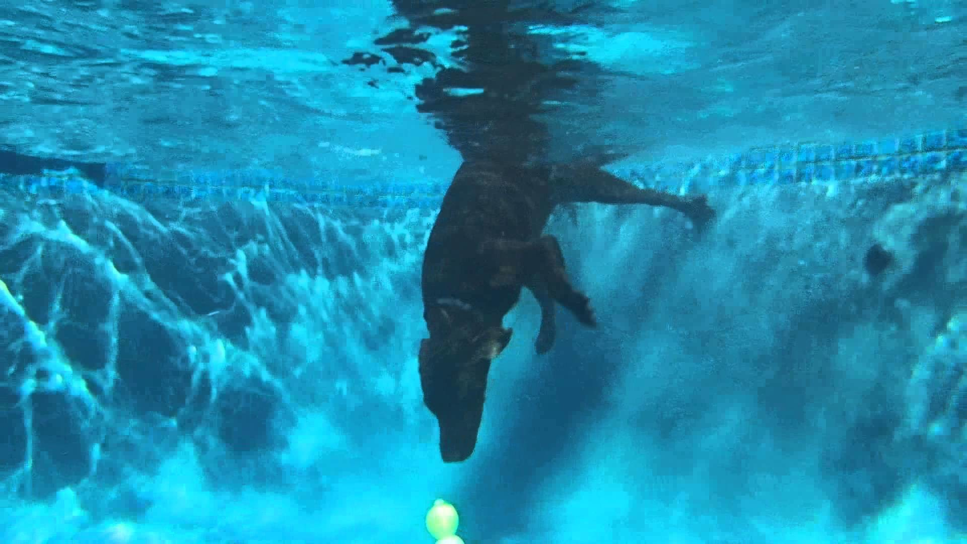 Res: 1920x1080, Chocolate Lab Labrador Retriever Austin dives underwater for dog toy in  deep end of swimming pool - YouTube