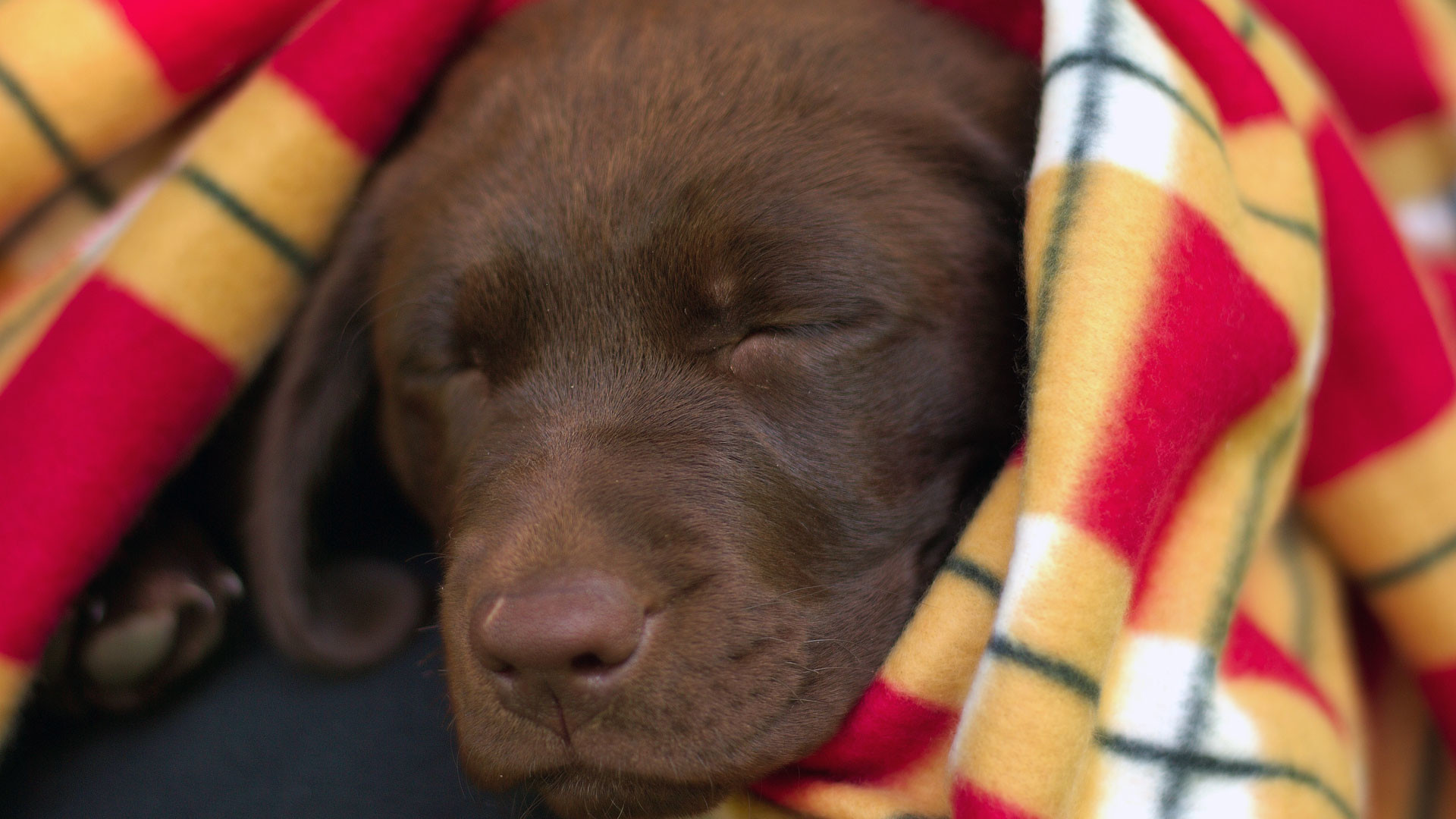 Res: 1920x1080,  |1680x1050 |1440x900 |1280x1024 | 800x600. Description: A chocolate  labrador ...