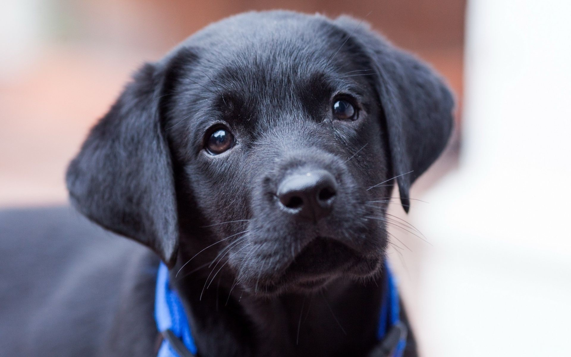 Res: 1920x1200, Cute Chocolate Lab Puppies With Blue Eyes: Black Labrador