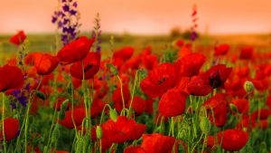 Red Poppy wallpapers