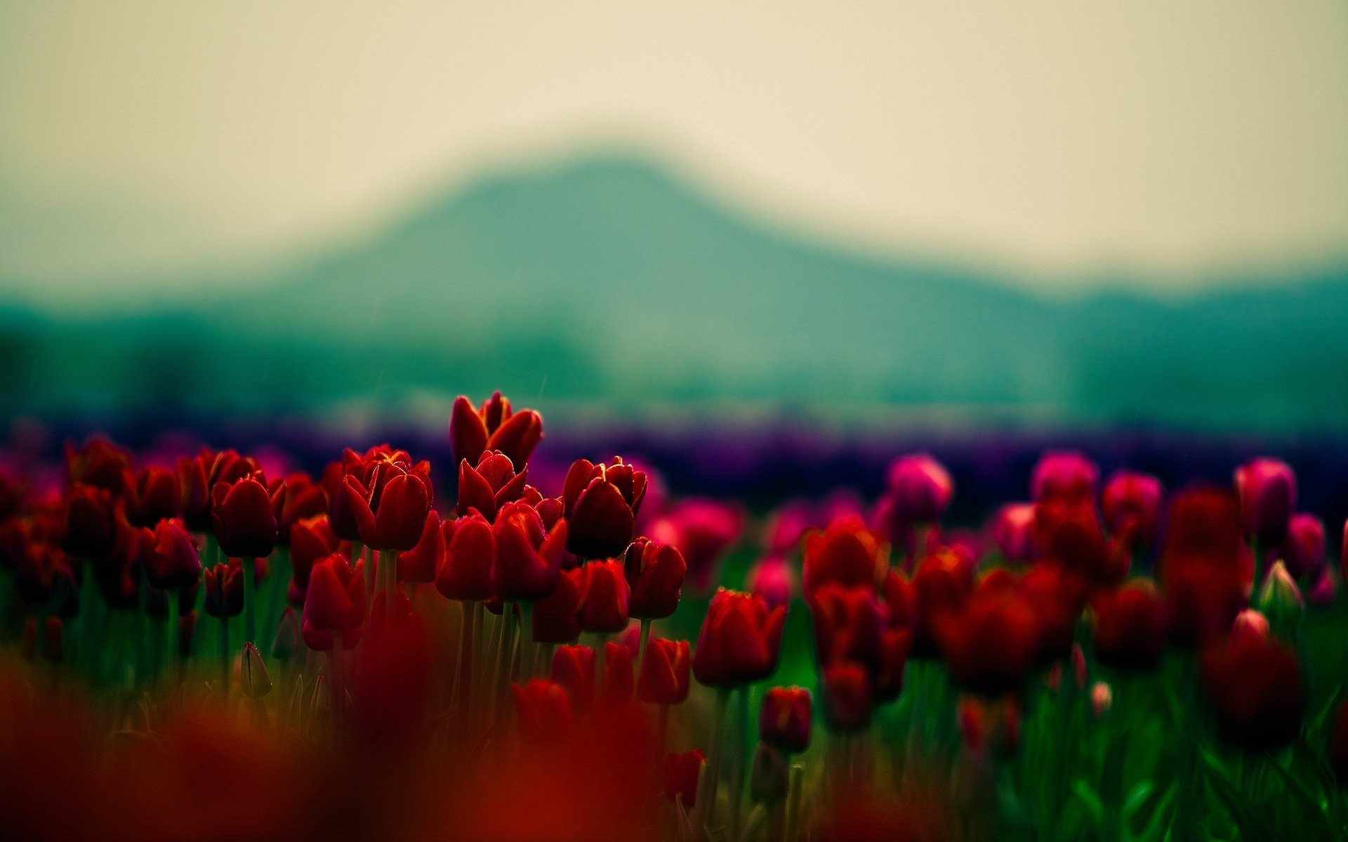Res: 1920x1200, flowers wallpaper tulips red flowers flower beauty beautiful flowers  beautiful wallpaper petals close-up wallpaper