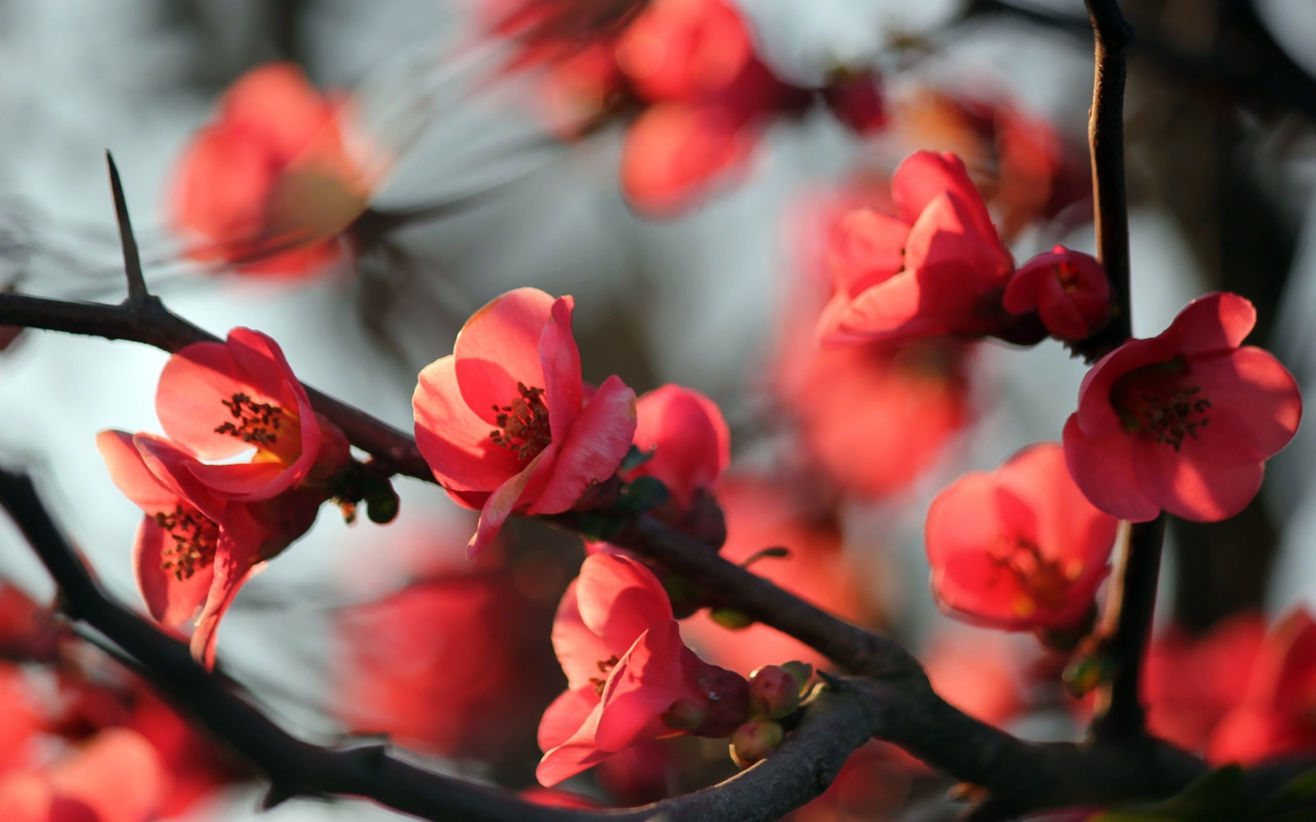 Res: 1920x1200, Nature red flowers blossoms macro branches wallpaper |  | 9070 |  WallpaperUP
