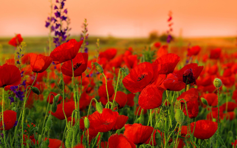 Res: 2880x1800, Poppys Red Flowers Wallpaper