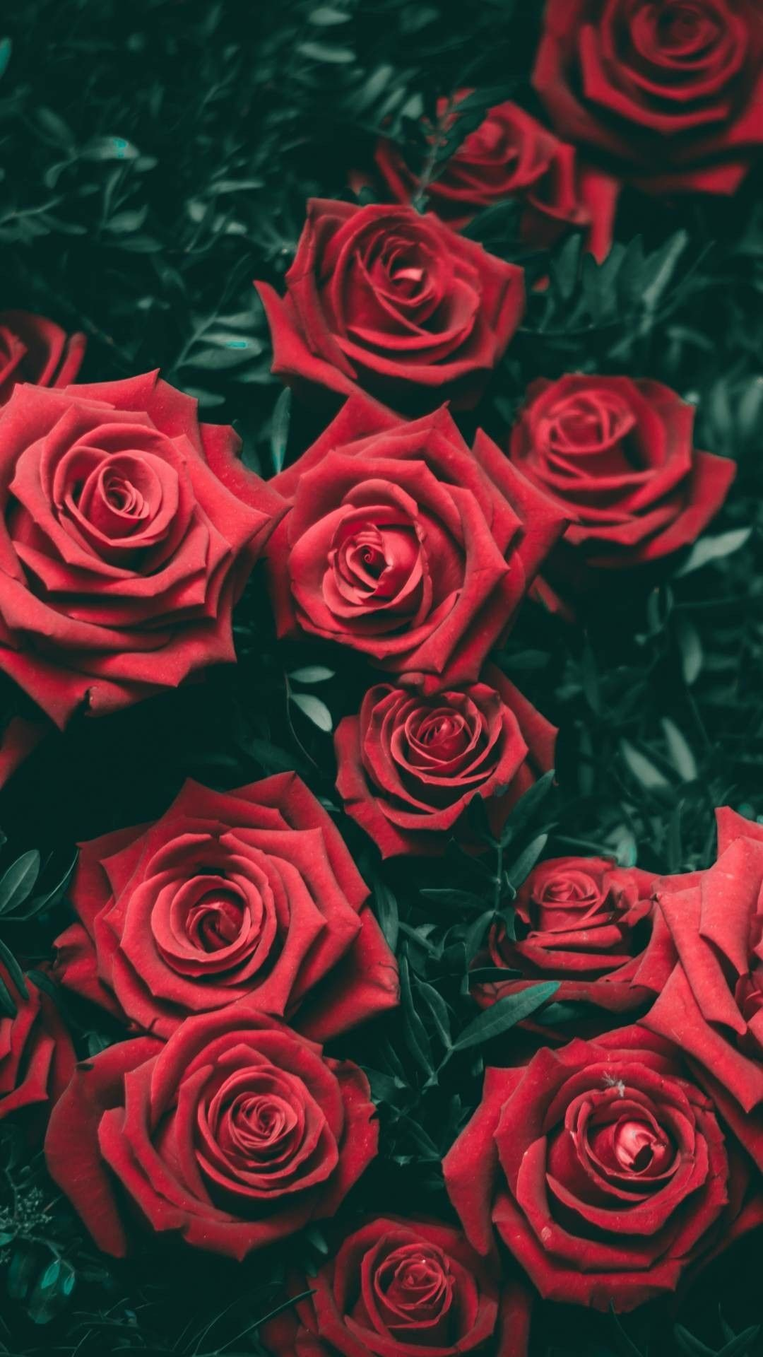 Res: 1080x1920, Red Rose Wallpaper