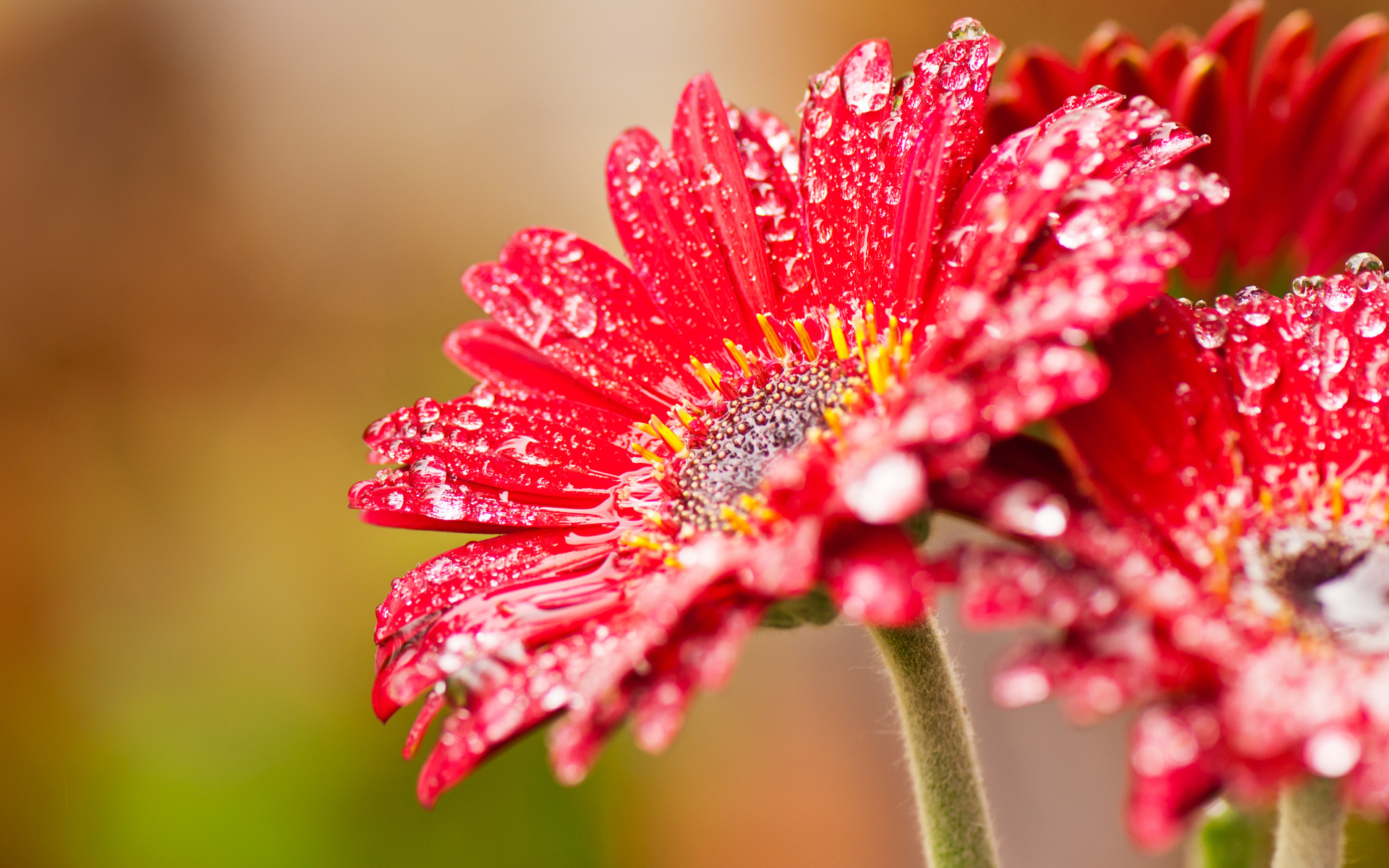 Res: 1920x1200, Image: Red flower wallpapers and stock photos. Â«