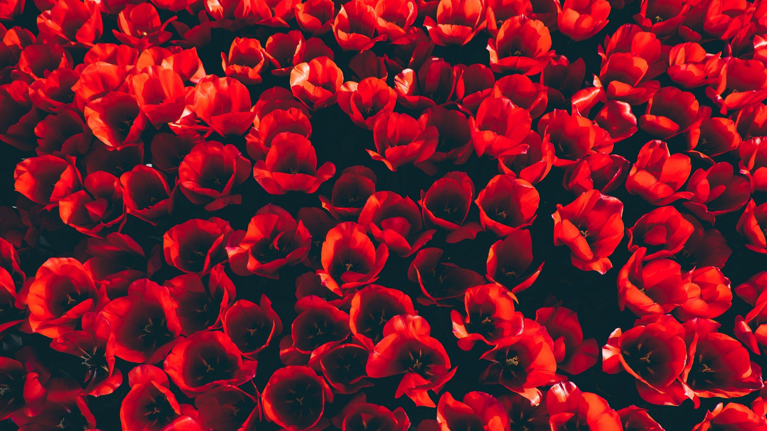 Res: 2560x1440, Flowers / Red flowers Wallpaper