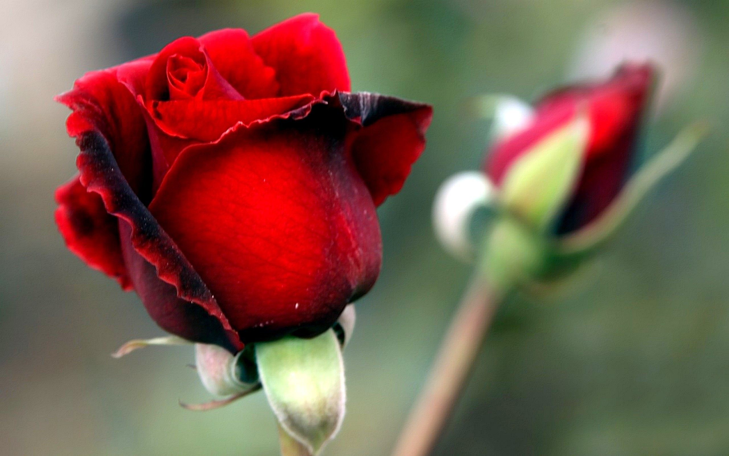 Res: 2560x1600, Rosebud Red Flowers Wallpaper