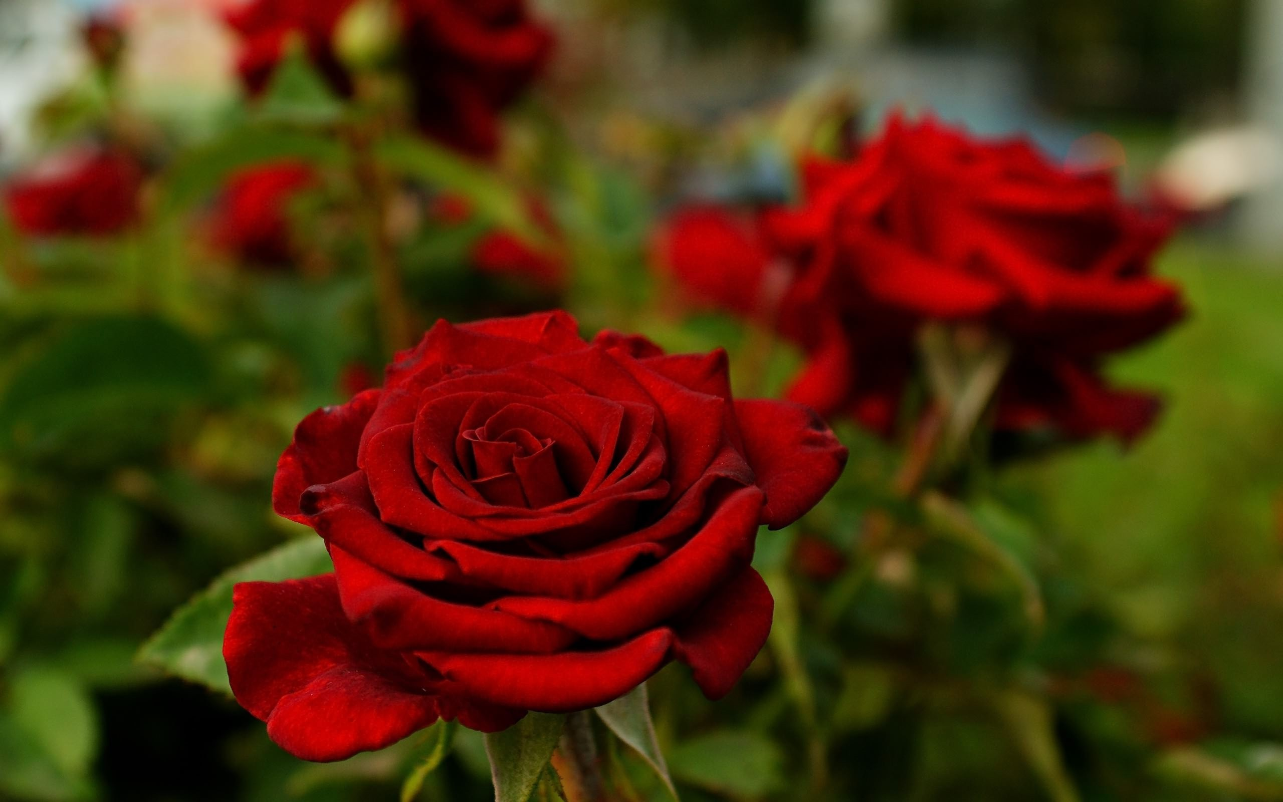Res: 2560x1600, flowers, Rose, Depth Of Field, Nature, Red, Red Flowers Wallpapers HD /  Desktop and Mobile Backgrounds
