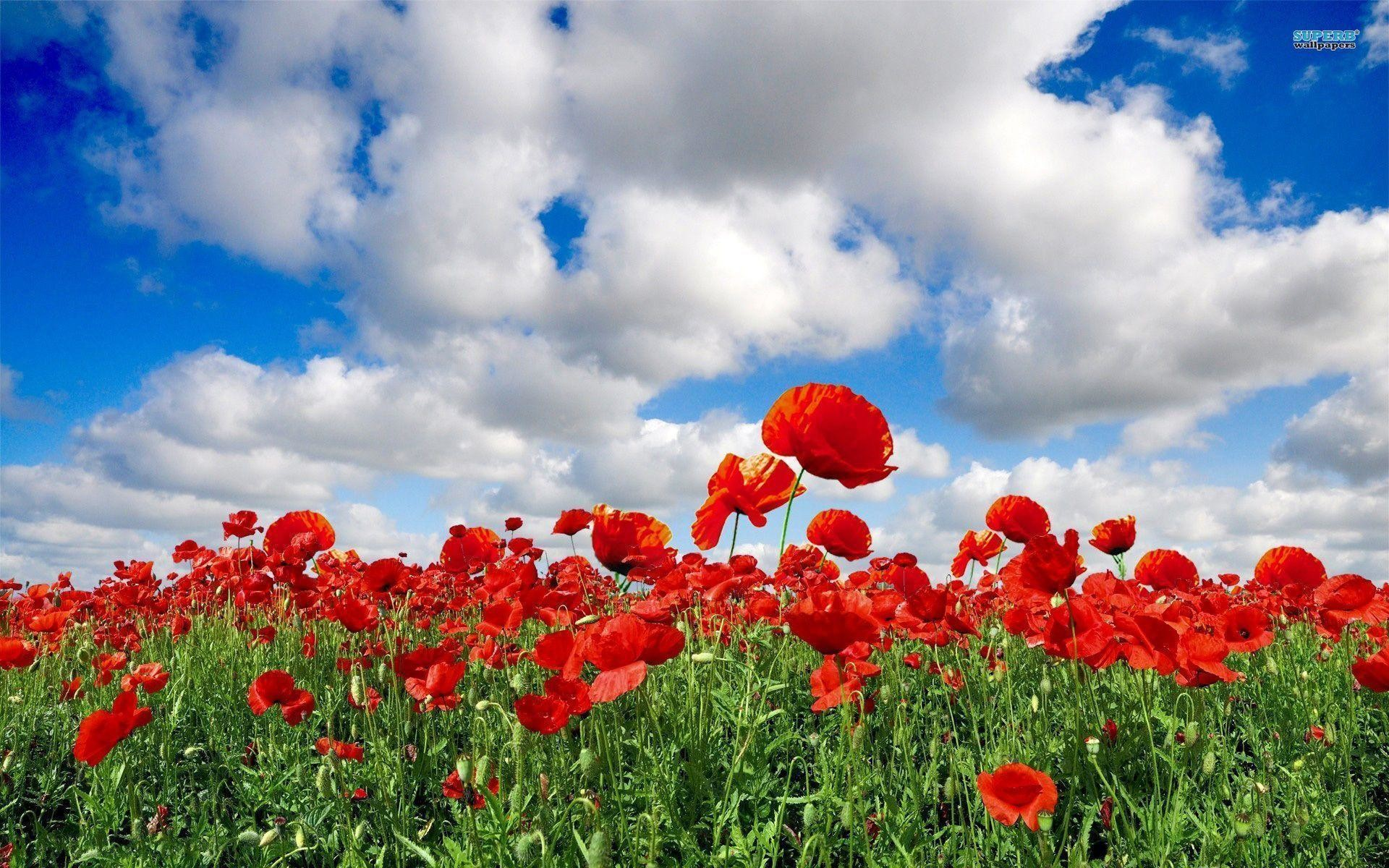 Res: 1920x1200, Field of Red Flowers Wallpaper HD 3.