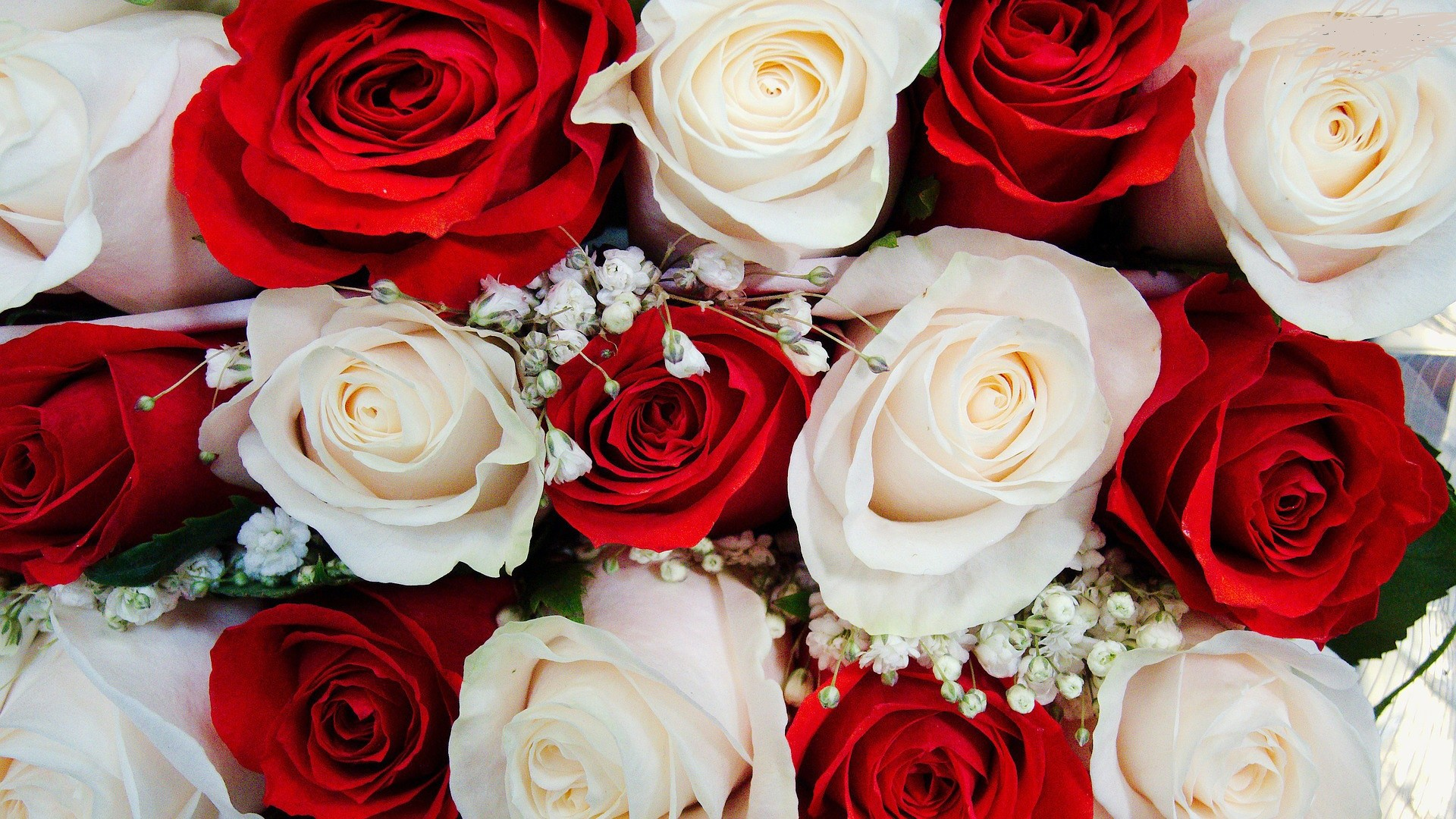 Res: 1920x1080, Red And White Rose Wallpaper