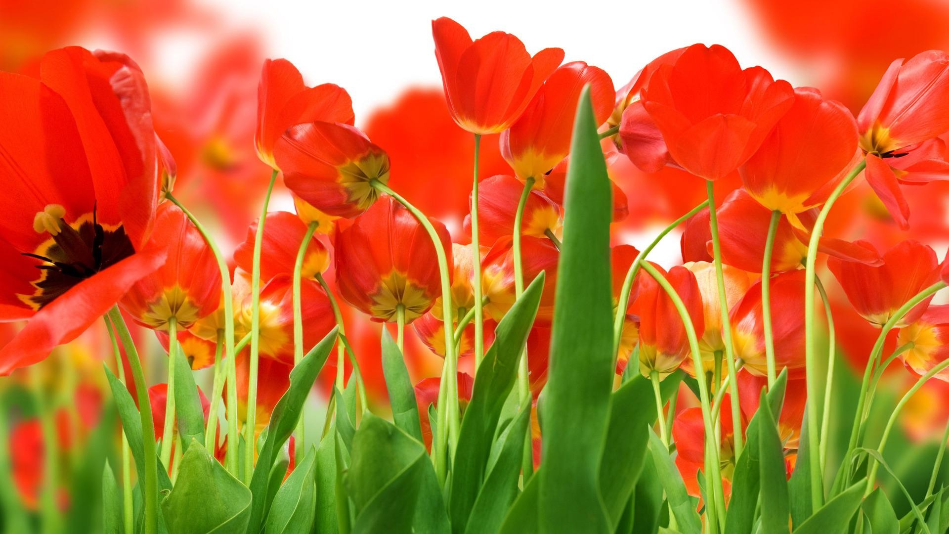 Res: 1920x1080, red flower wallpaper hd #1045085