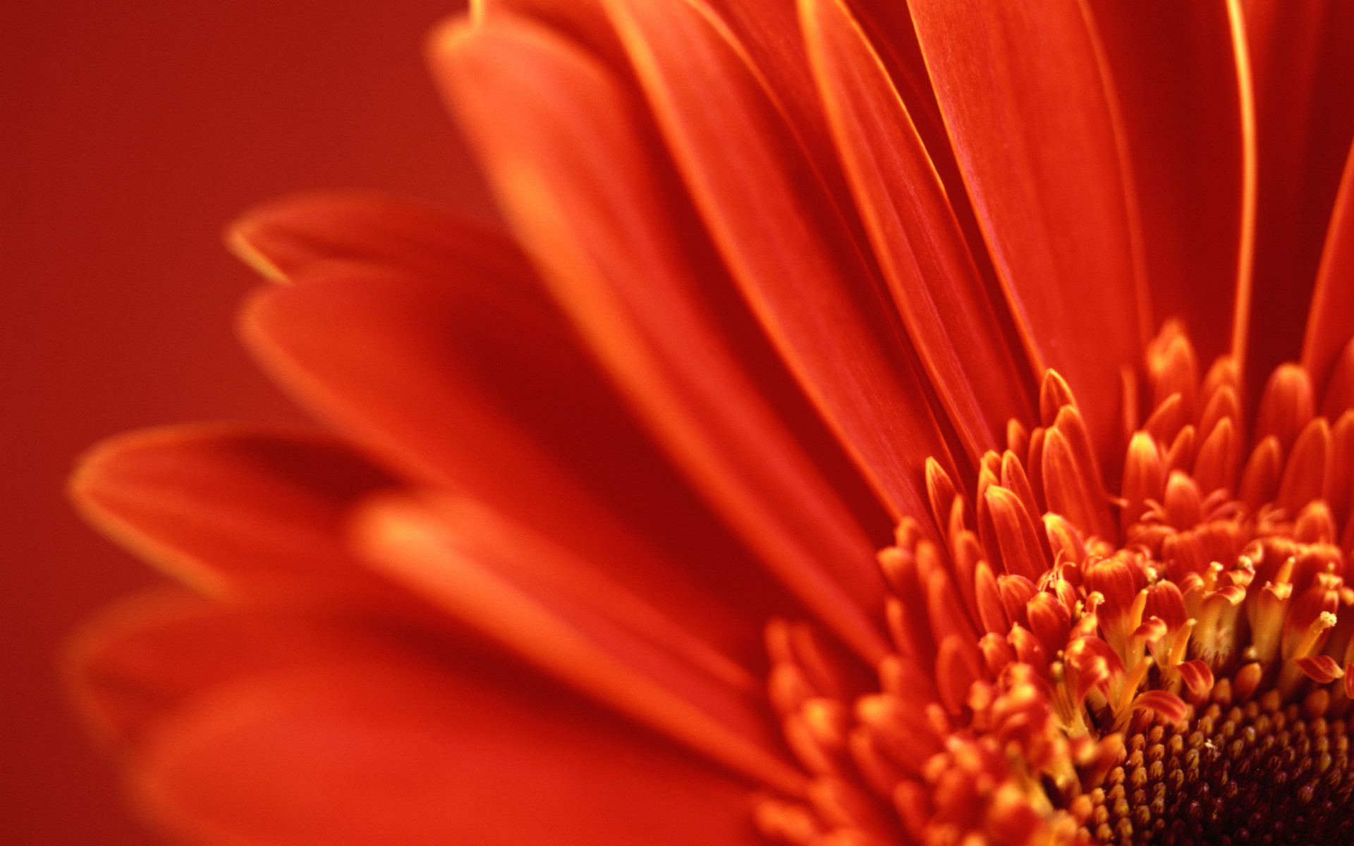 Res: 1920x1200, Red Flower Wallpaper