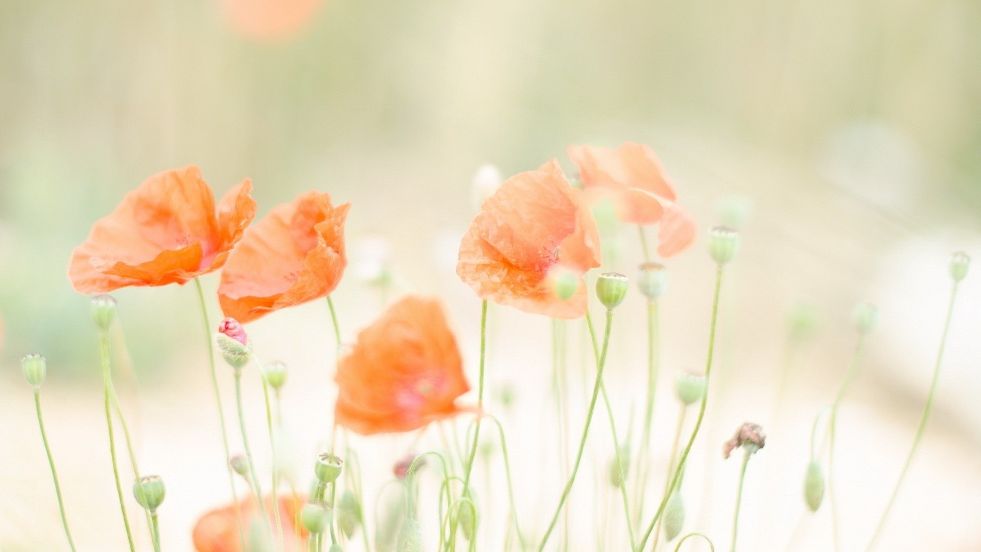 Res: 1920x1080, Summer Red Flowers Wallpaper HD