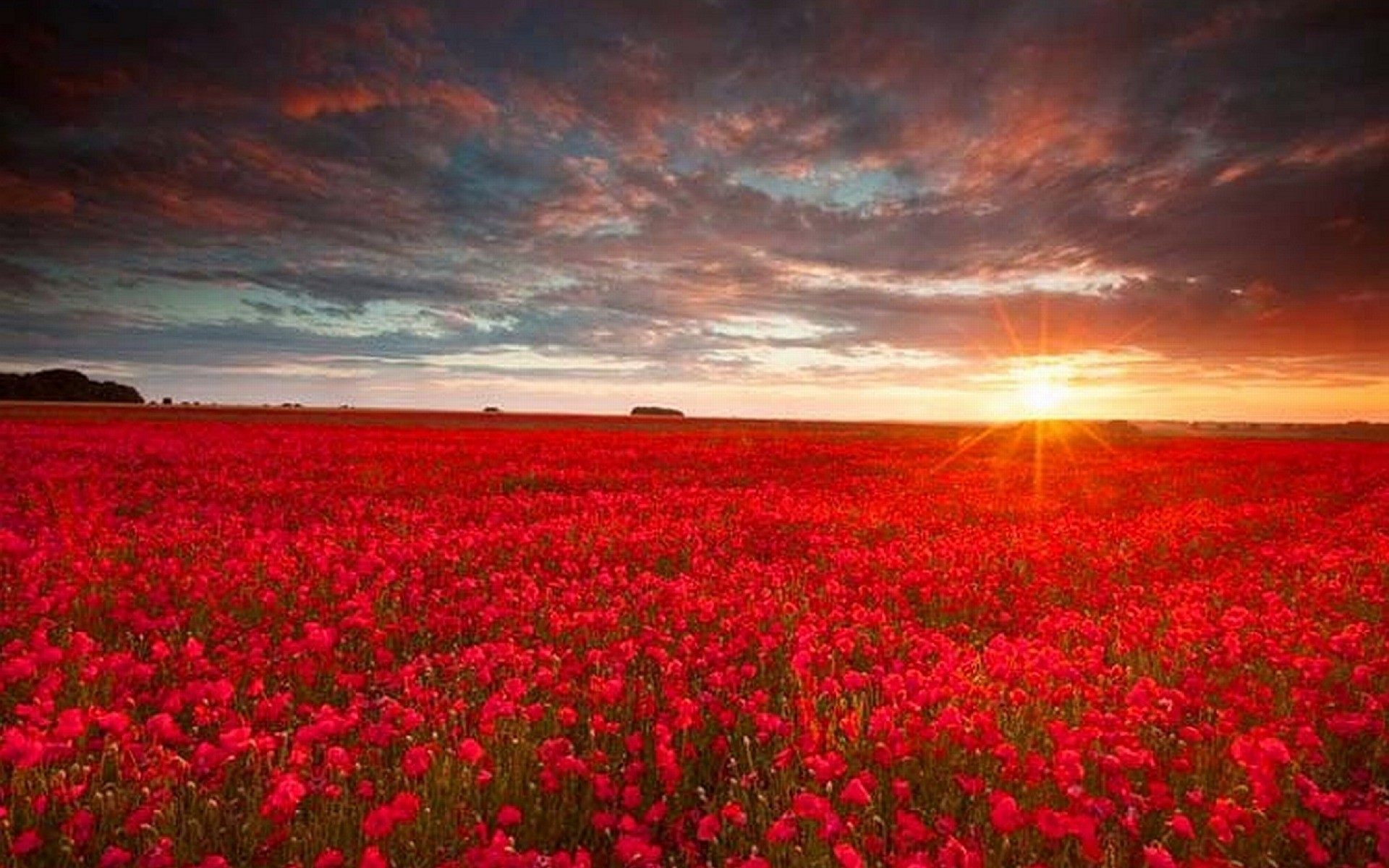 Res: 1920x1200, red flower wallpaper #24054