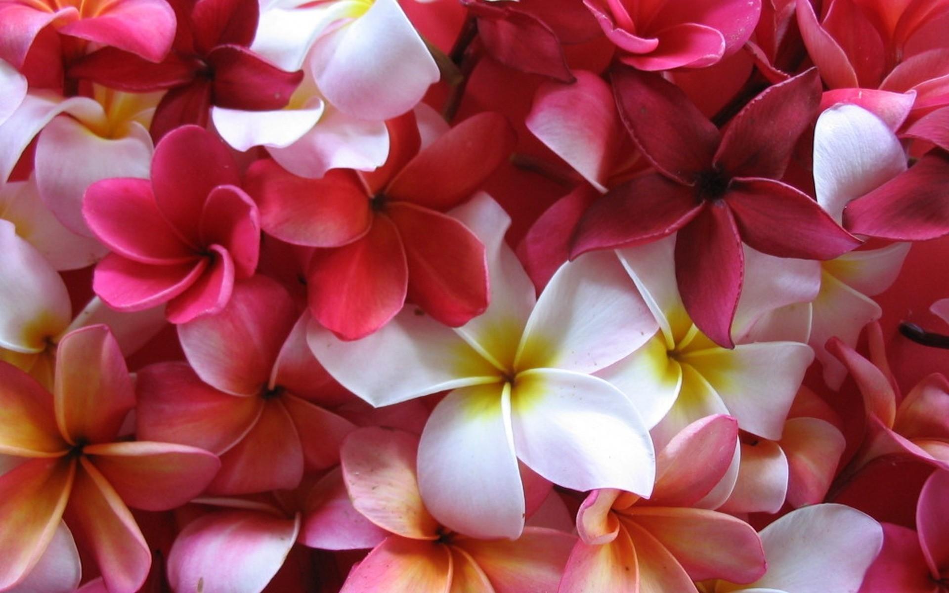 Res: 1920x1200,  Earth - Frangipani White Flower Nature Flower Plumeria Colors Red  Flower Wallpaper, #27