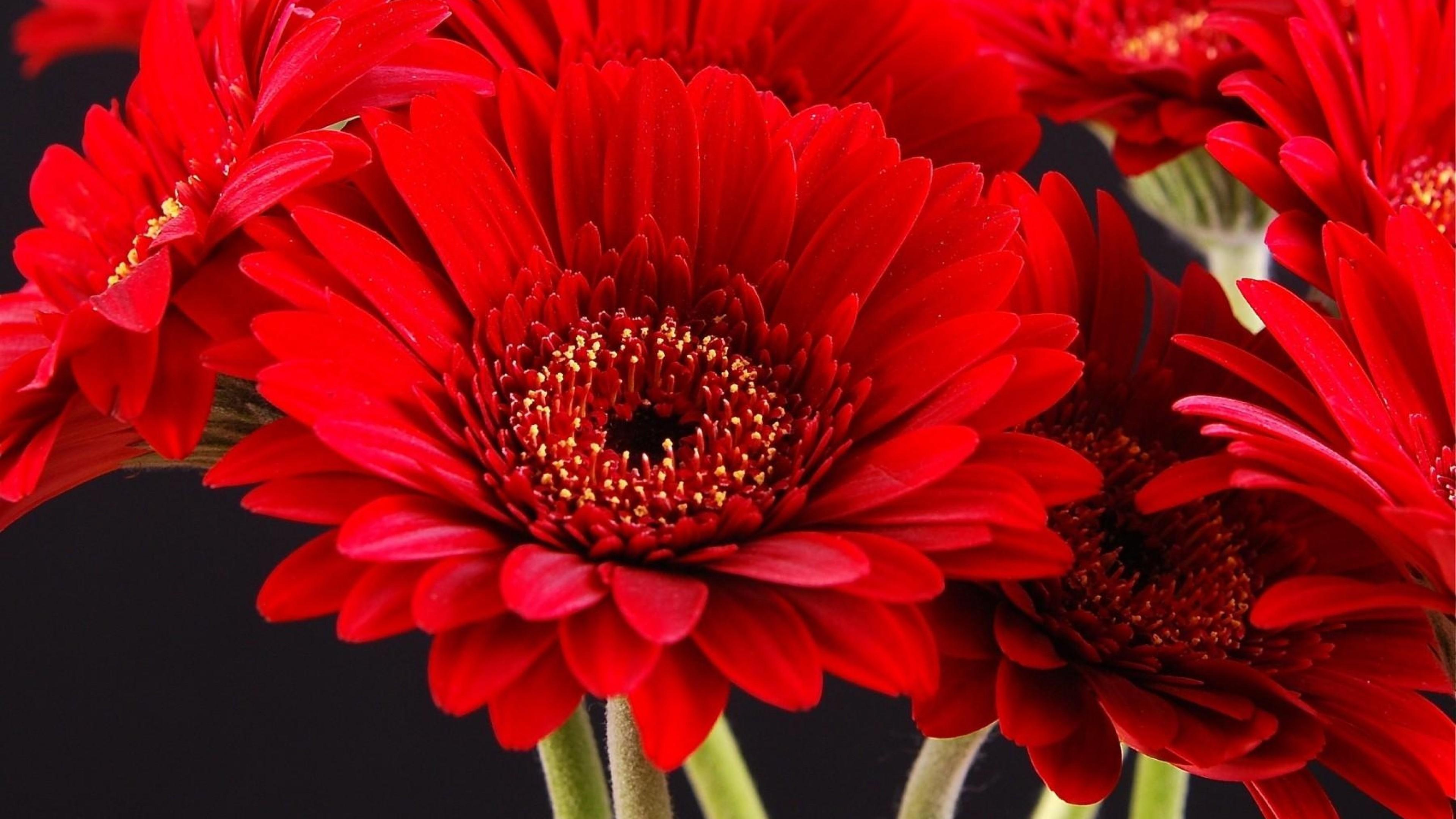 Res: 3840x2160, Gerberas Red Flowers wallpaper | 2560x1707 | 281764 | WallpaperUP