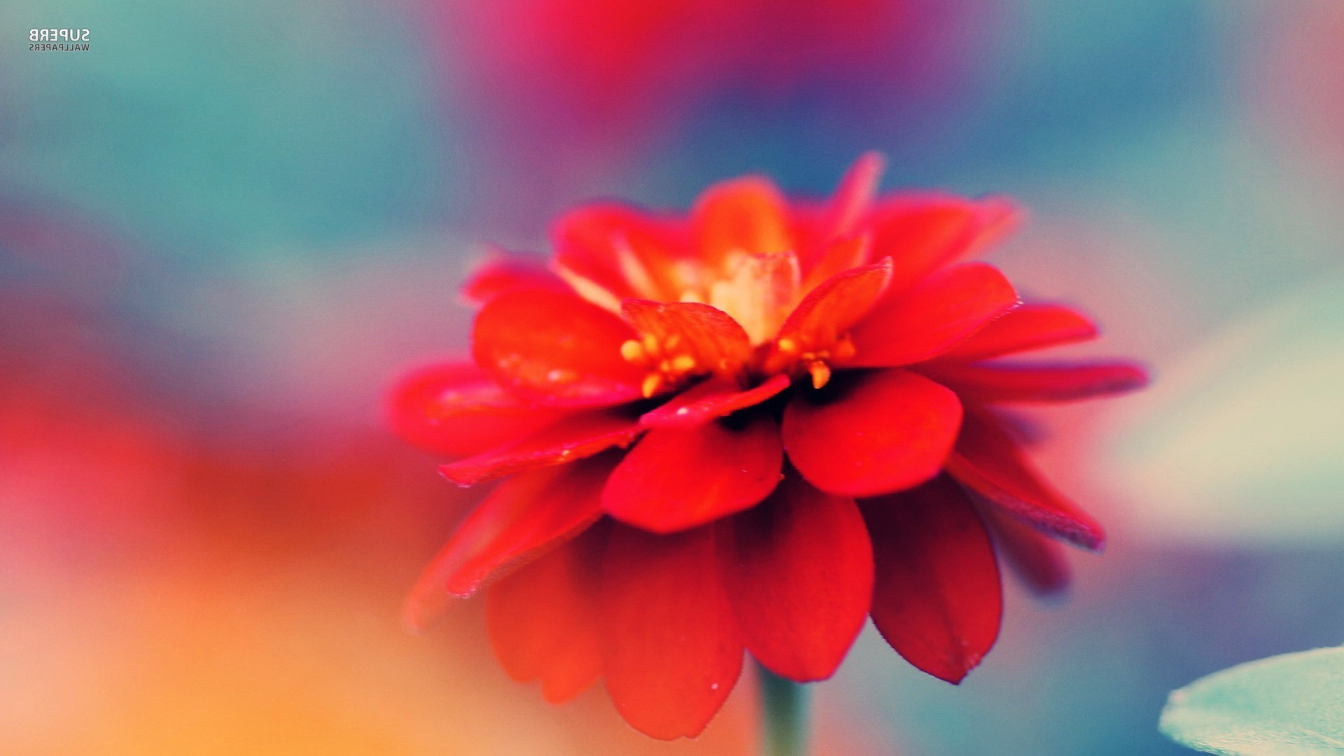 Res: 1920x1080,  flowers macro nature red flowers wallpaper and background JPG 250  kB
