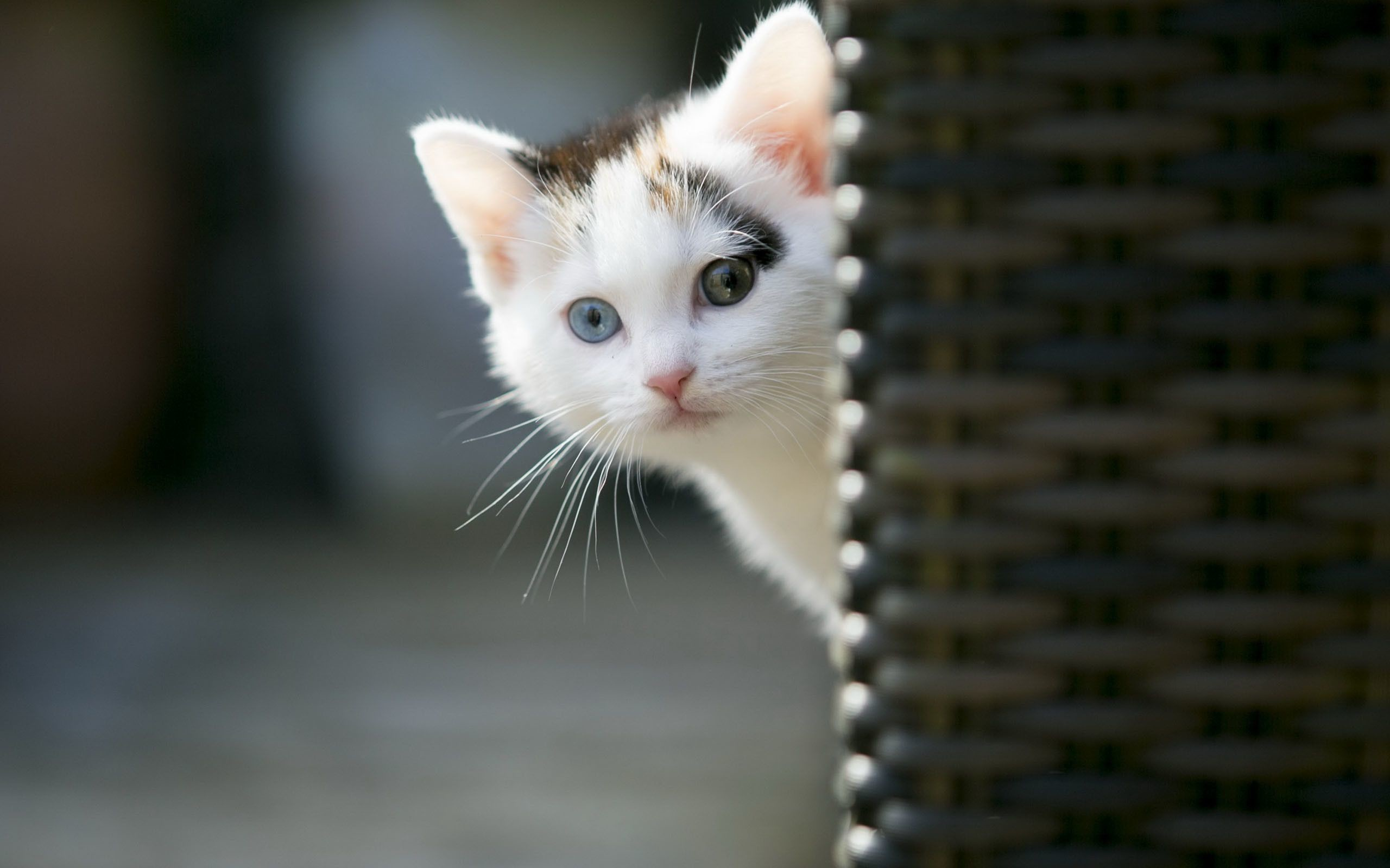 Res: 2560x1600,  Animals Wallpaper: Cute Cat Wallpapers Images for HD Wallpaper .