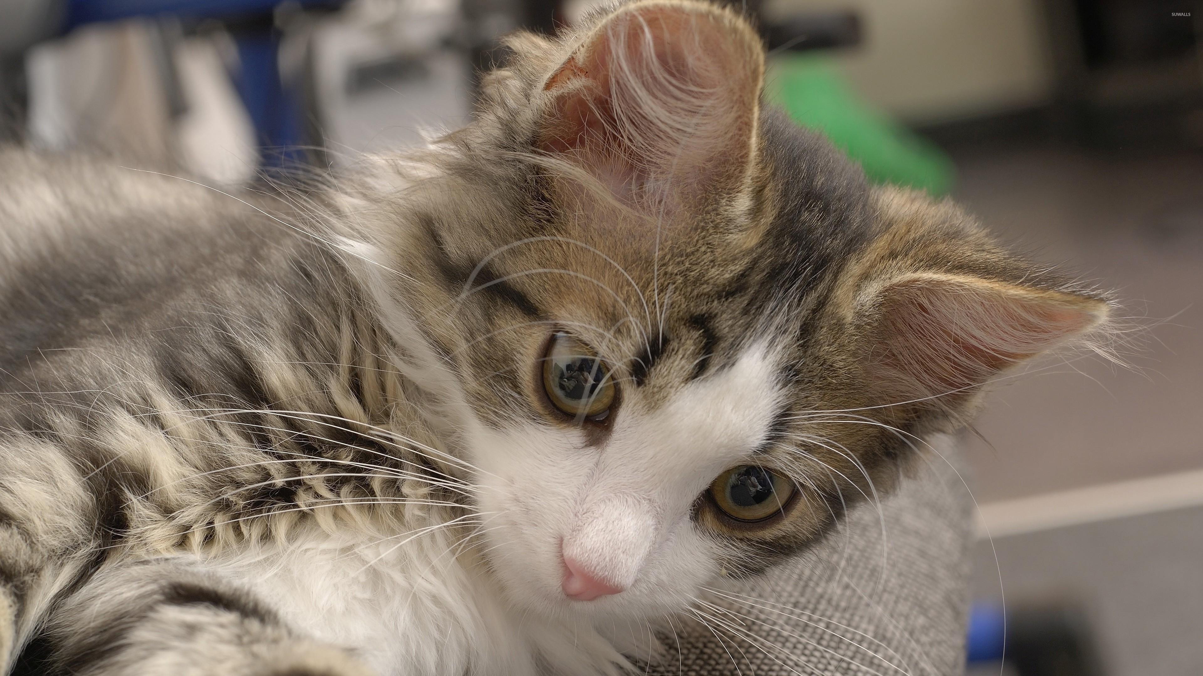 Res: 3840x2160, Cute cat wallpaper
