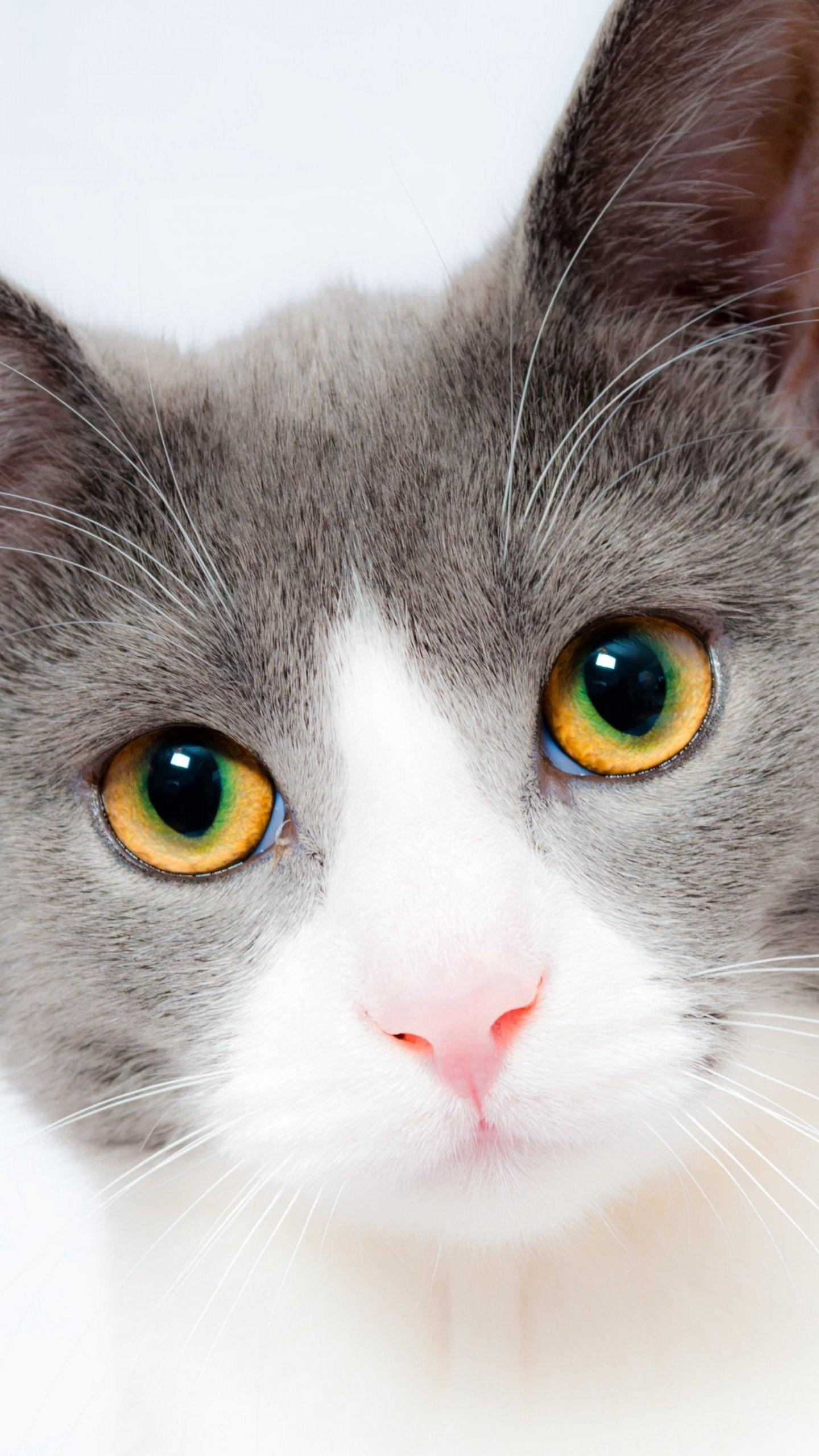 Res: 1440x2560, Grey And White Cat Wallpaper Mobile Desktop Background Cute Cats