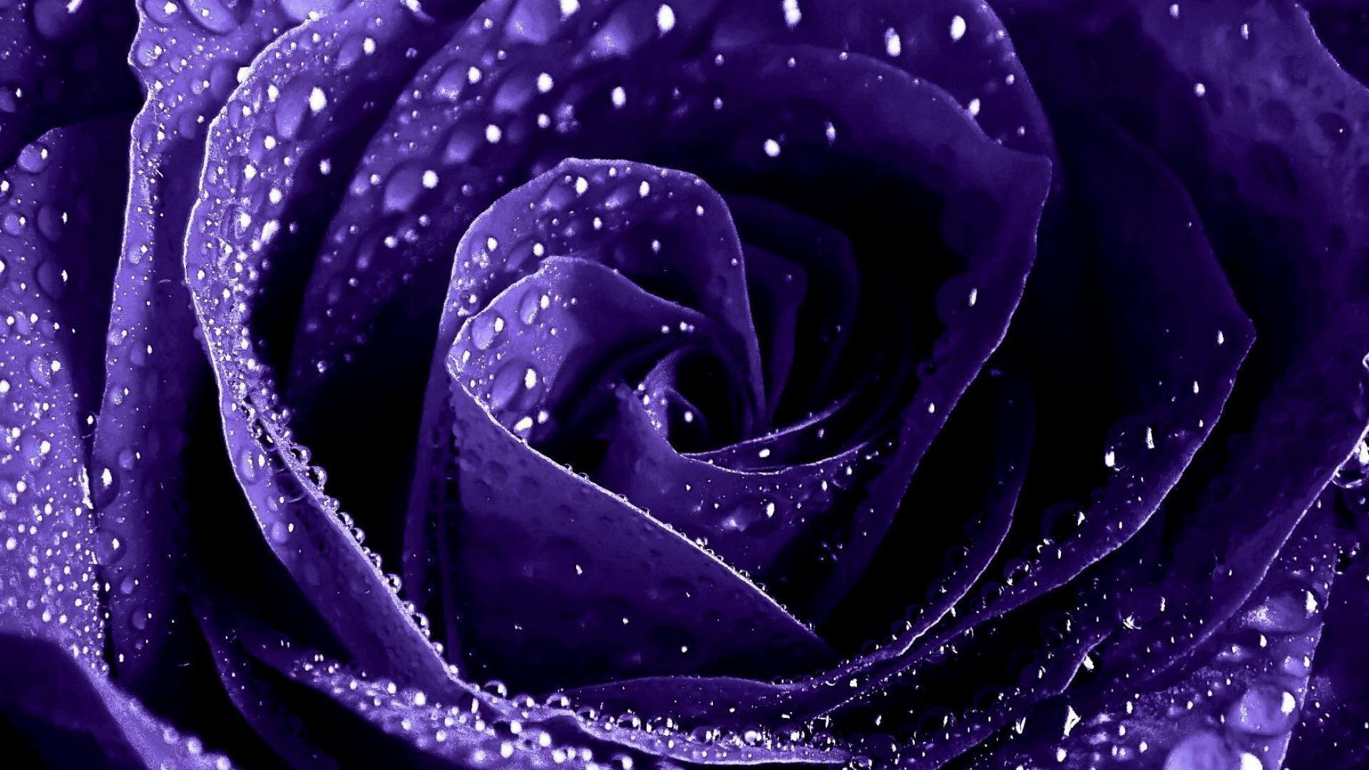 Res: 1920x1080, Purple Rose HD Wallpaper | Hintergrund |  | ID:694820 - Wallpaper  Abyss