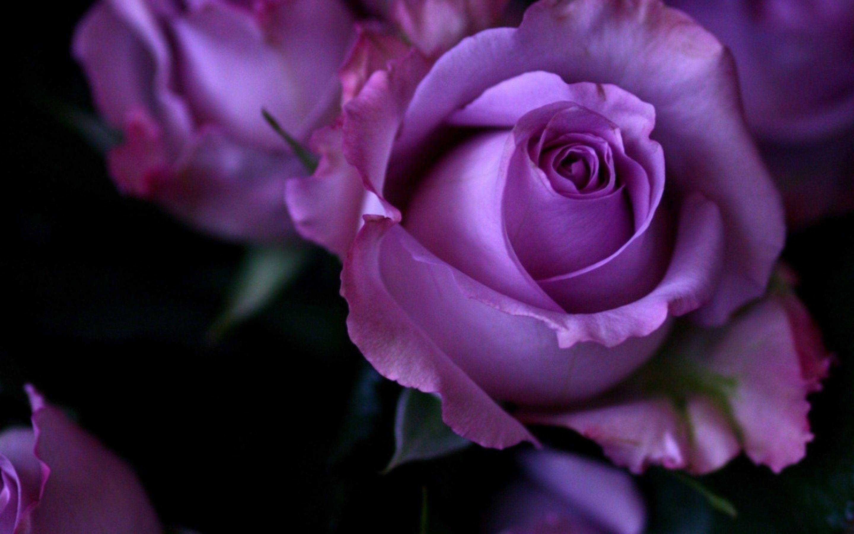 Res: 2880x1800, Purple Rose Wallpapers - Full HD wallpaper search