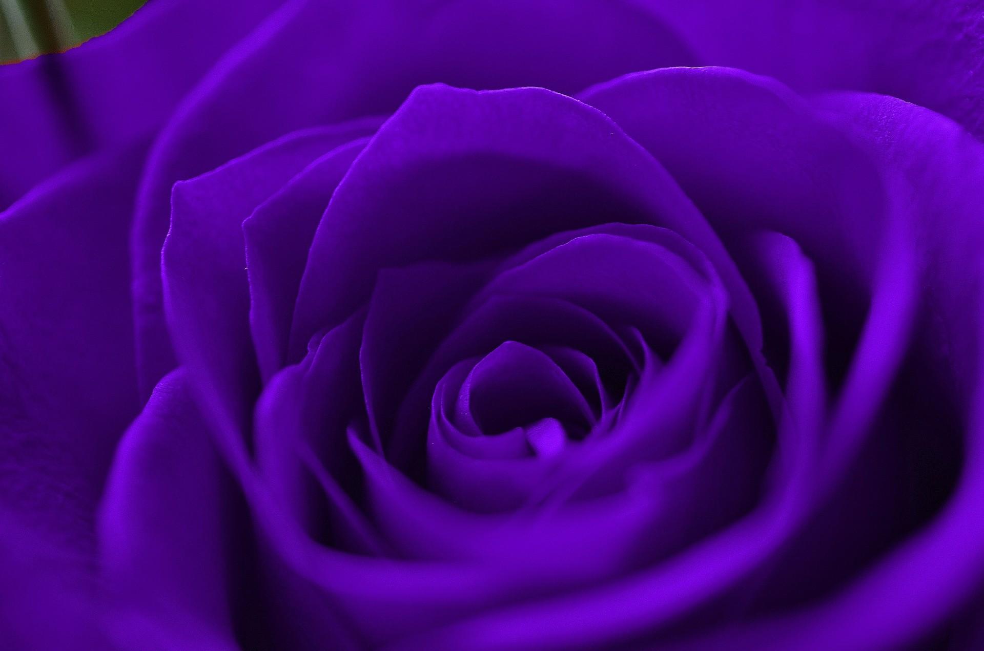 Res: 1920x1271, Purple Rose