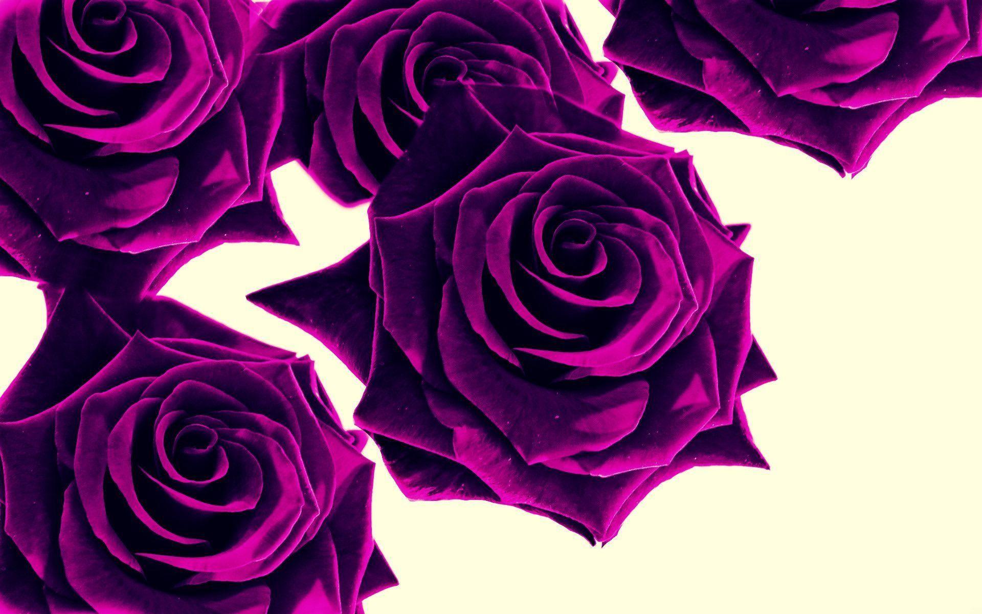 Res: 1920x1200, purple roses wallpaper