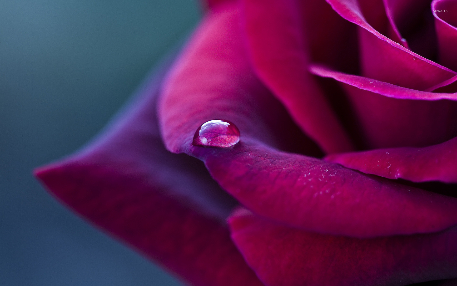 Res: 1920x1200, Water drop on a purple rose wallpaper