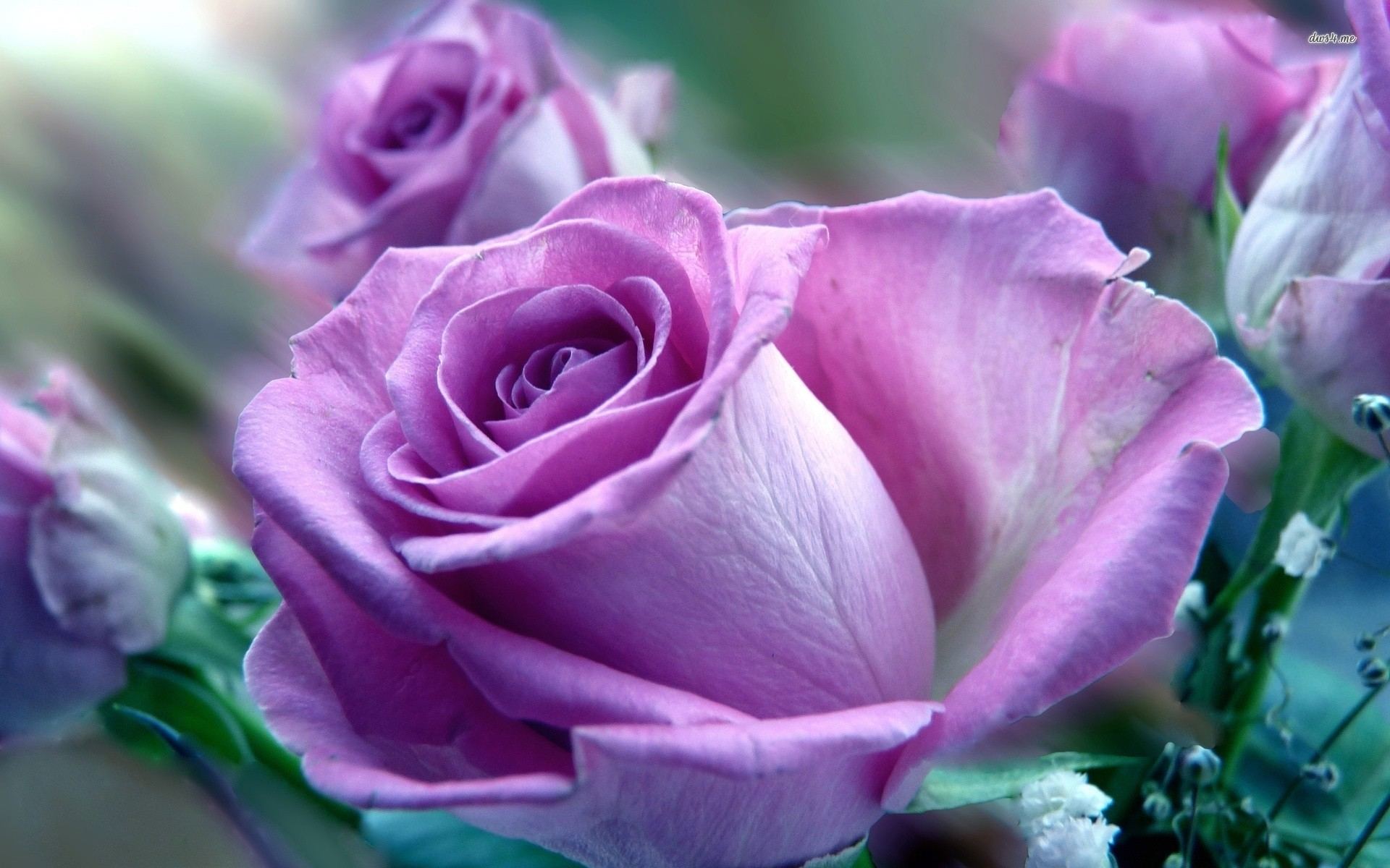 Res: 1920x1200, Title : purple and pink roses wallpaper | purple rose wallpaper - flower.  Dimension : 1920 x 1200. File Type : JPG/JPEG
