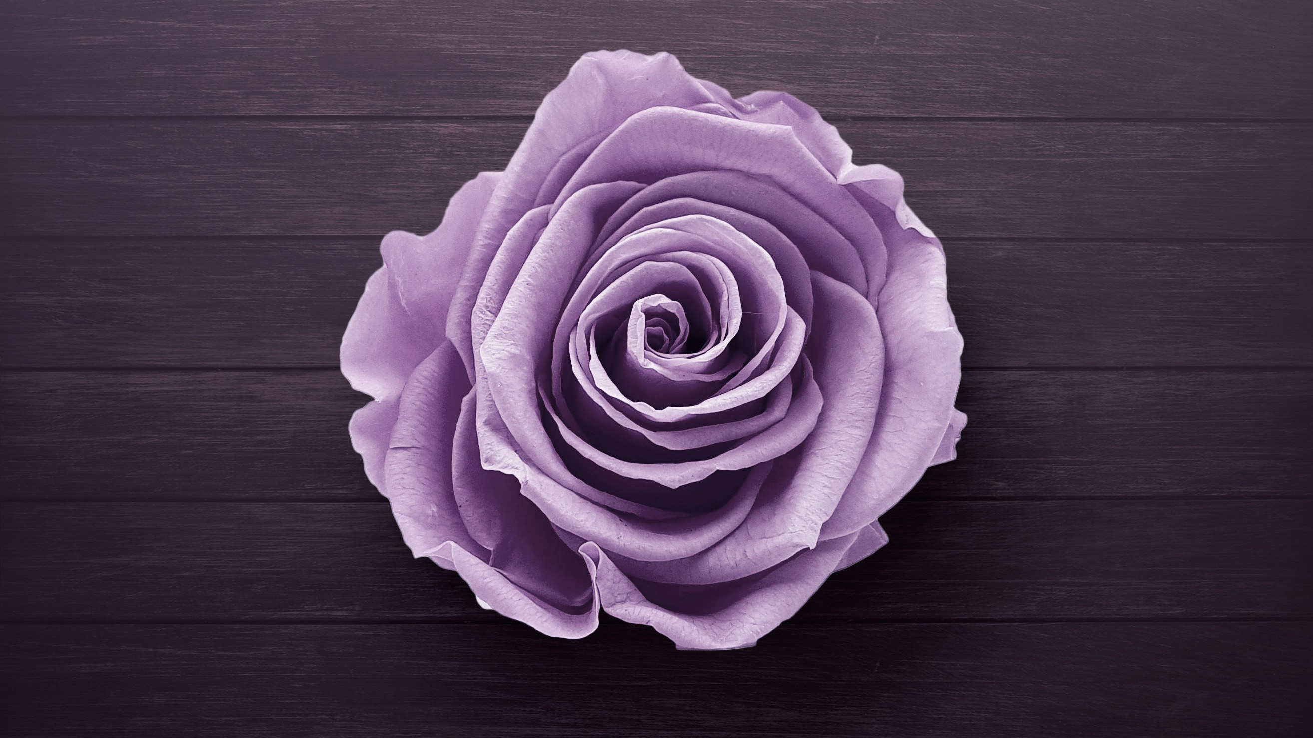Res: 2629x1479, #rose, #flowers, #hd, #purple