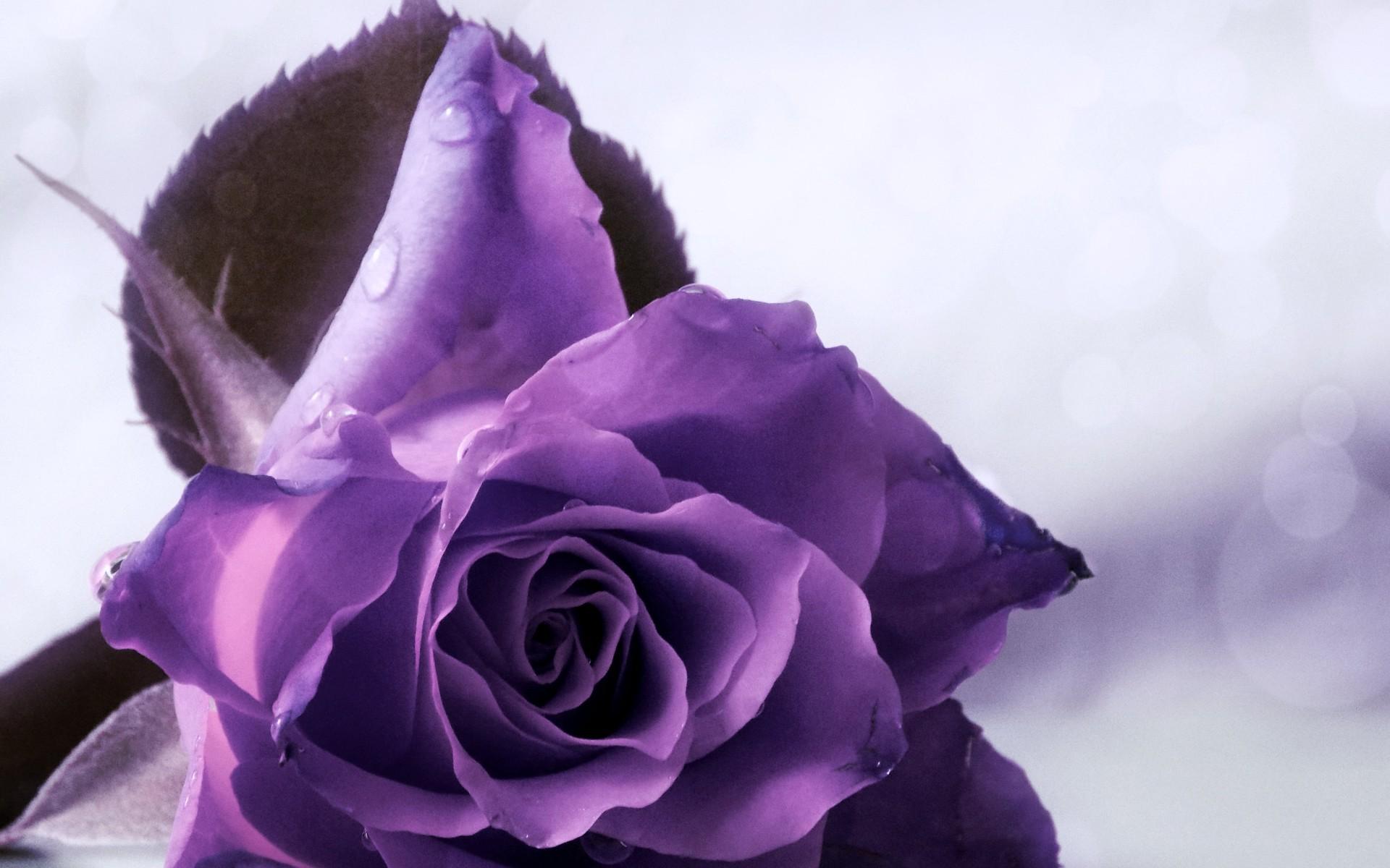 Res: 1920x1200, Download wallpaper Purple Rose Macro: Full ...