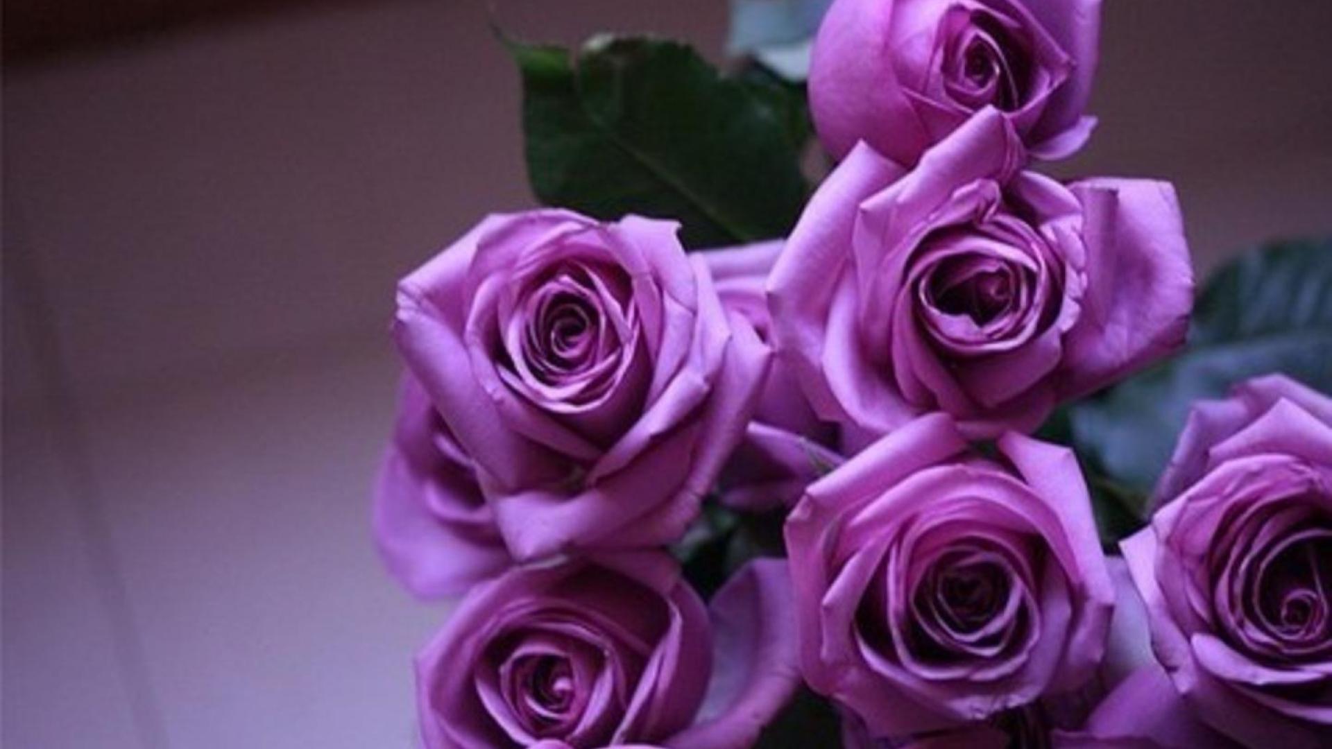 Res: 1920x1080, Purple Roses. Wallpaper: Purple Roses