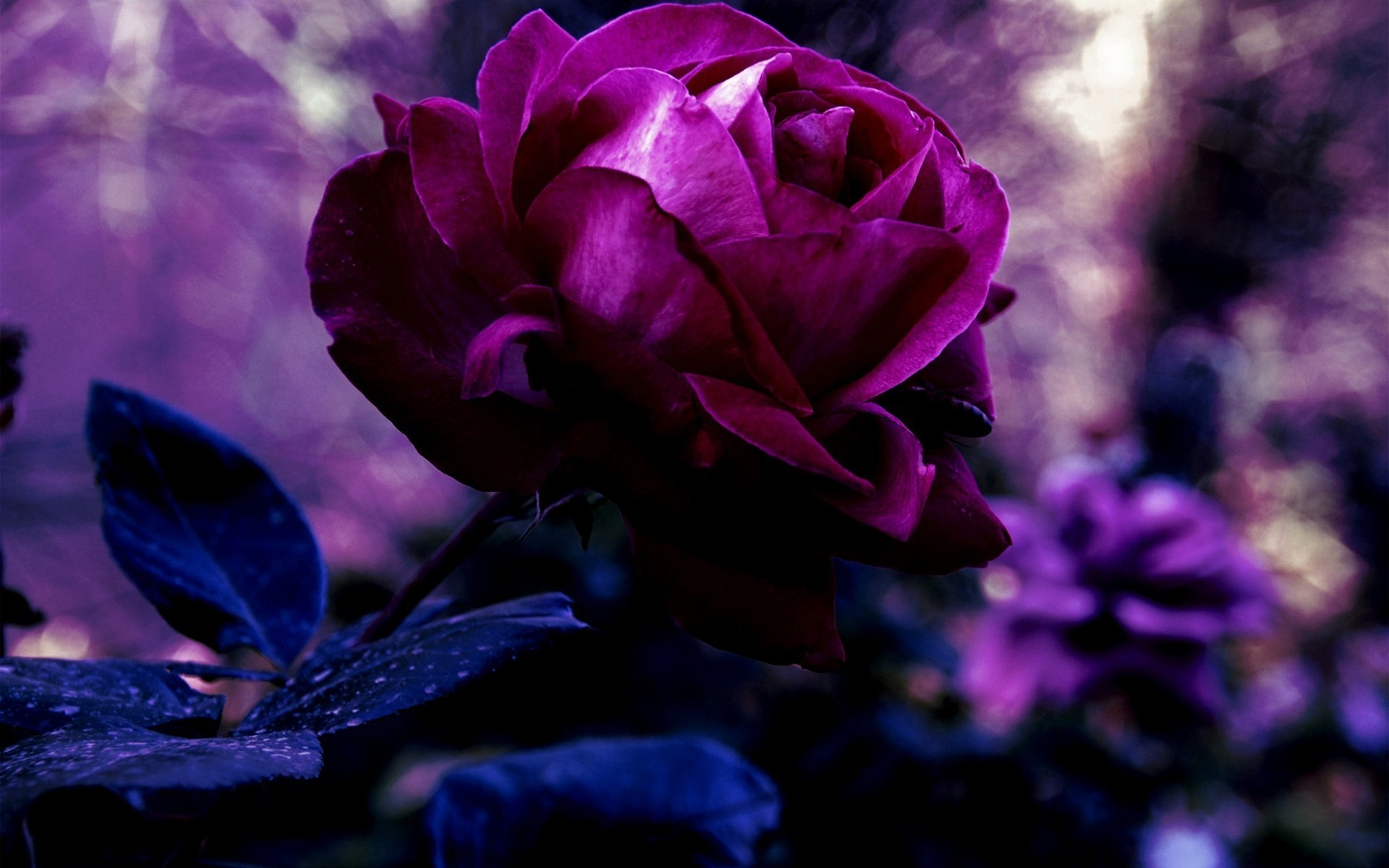 Res: 1920x1200, 2521x1796 Images Of Purple Roses Hd Pics Photos Wallpaper  Wallpaperzoocompurple Androids