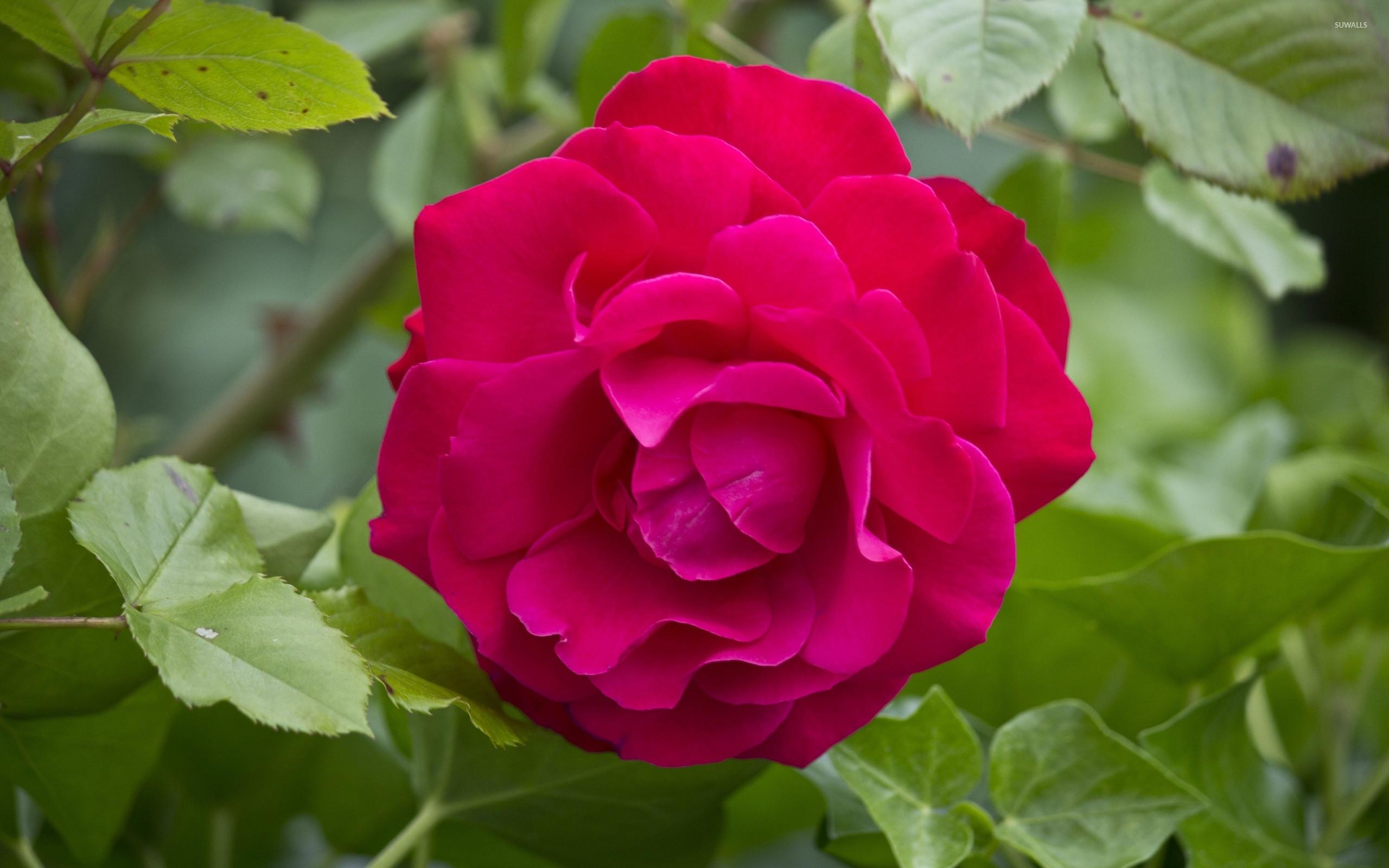 Res: 2560x1600, Purple rose wallpaper