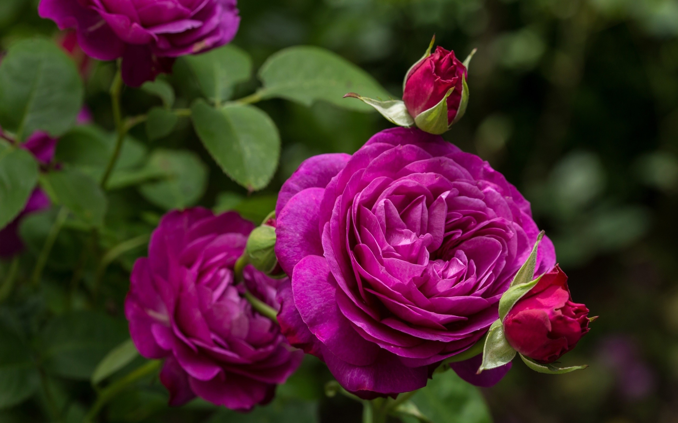 Res: 2560x1600, Purple Rose High Quality Wallpapers