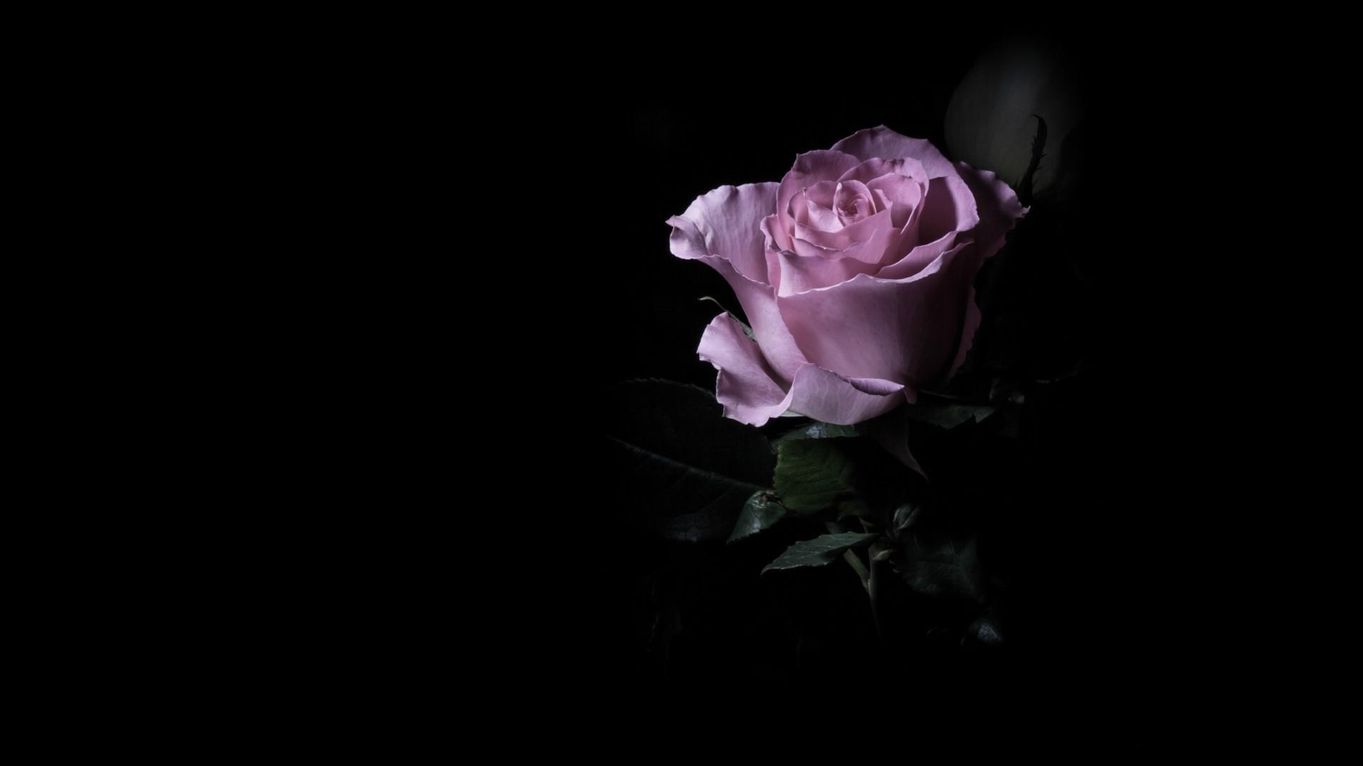 Res: 1920x1080, Purple Rose Wallpaper