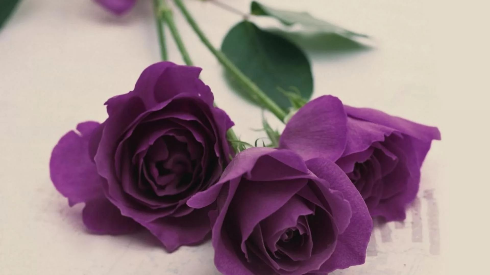 Res: 1920x1080, ... Purple Rose wallpaper for windows
