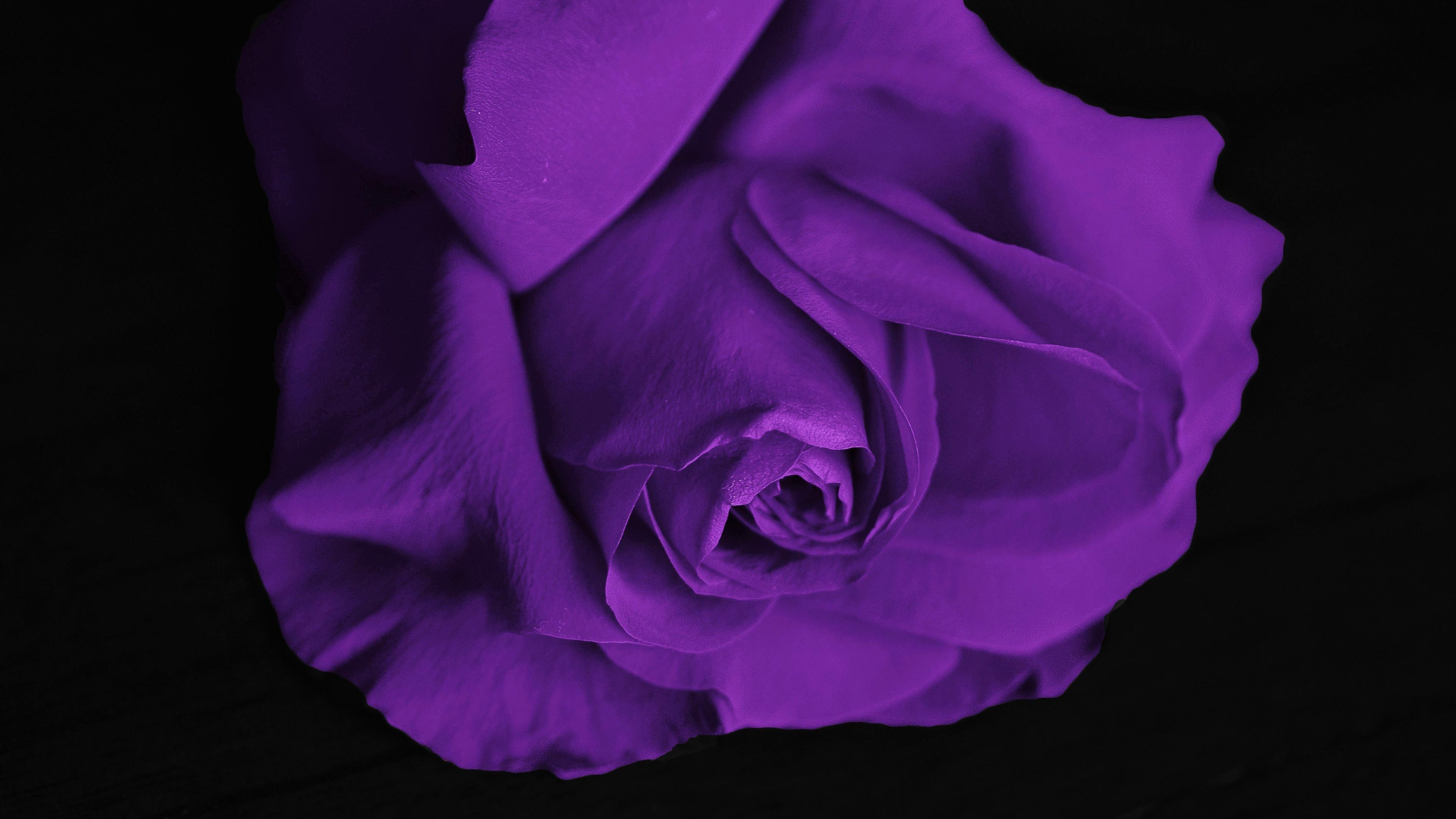 Res: 3840x2160,  wallpaper Purple rose, close up, flower