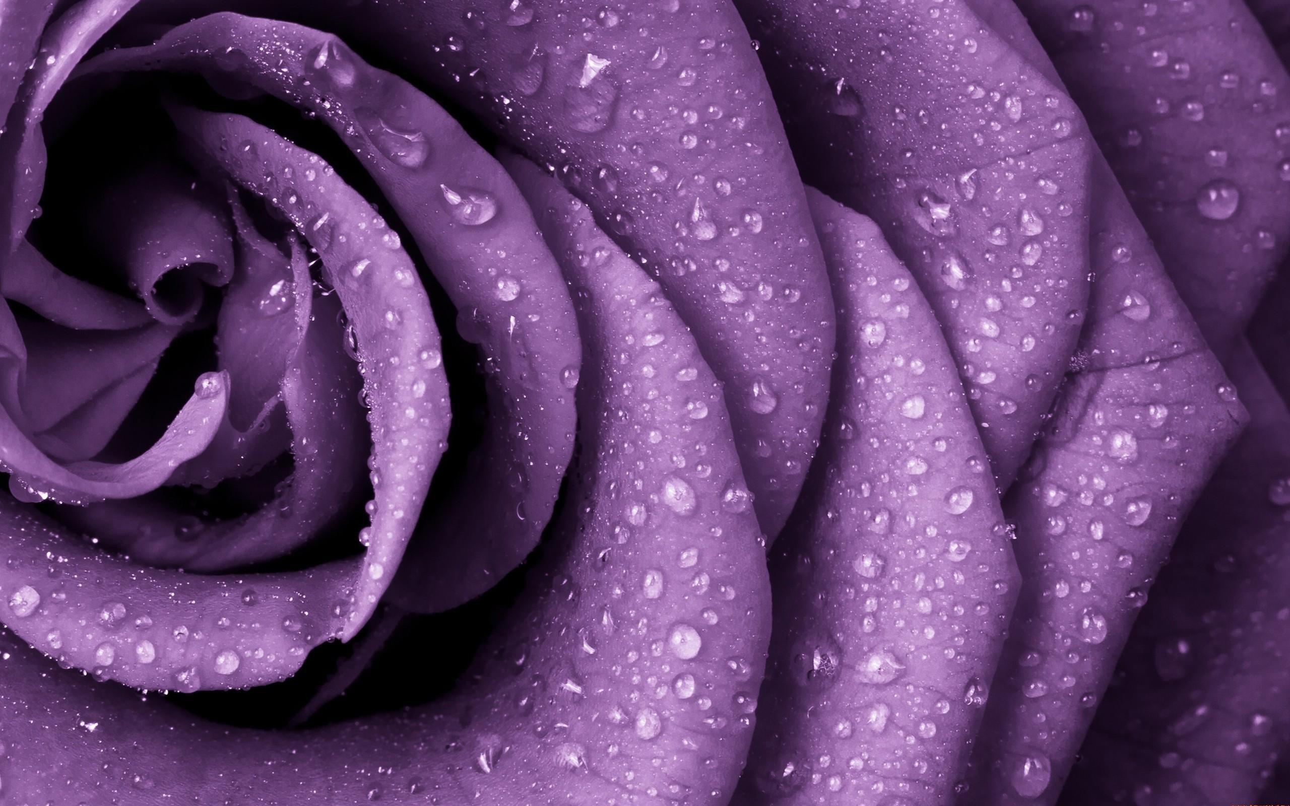 Res: 2560x1600, purple rose wallpaper #732050